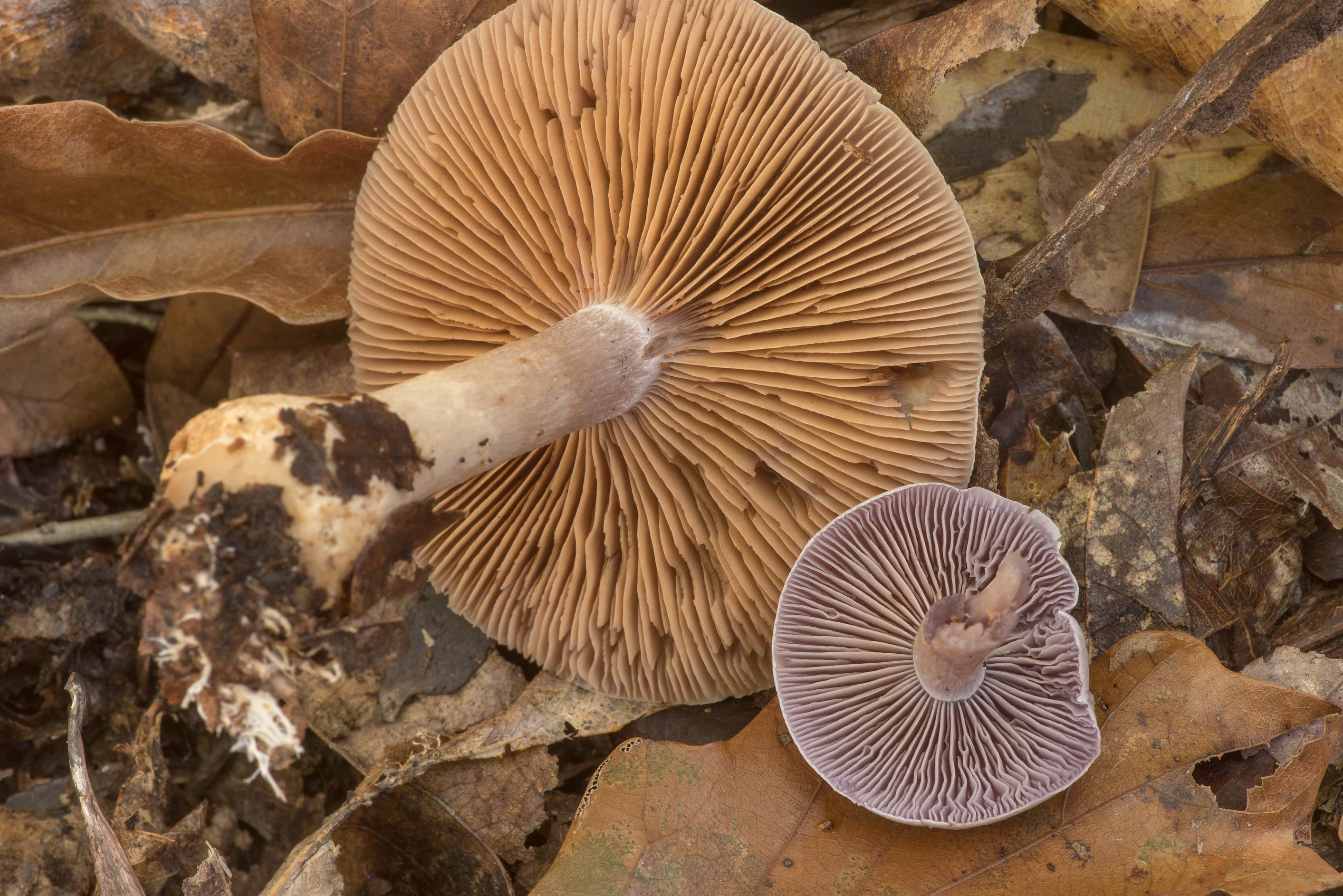 Gills of pearly webcap mushrooms (Cortinarius...to Market Rd. 770 near Kountze. Texas