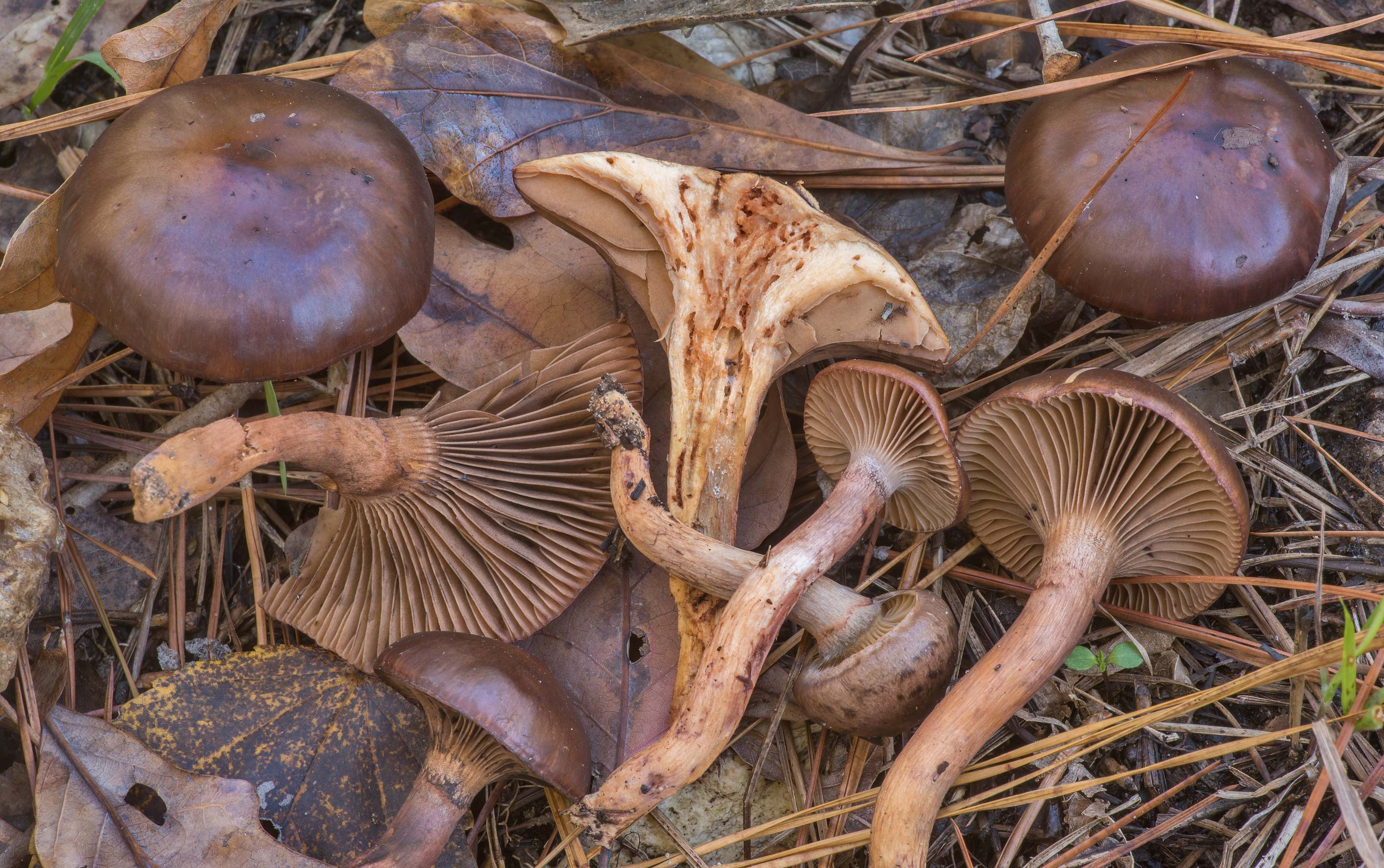 Dissected pine spike mushrooms (Chroogomphus...in Huntsville State Park. Texas