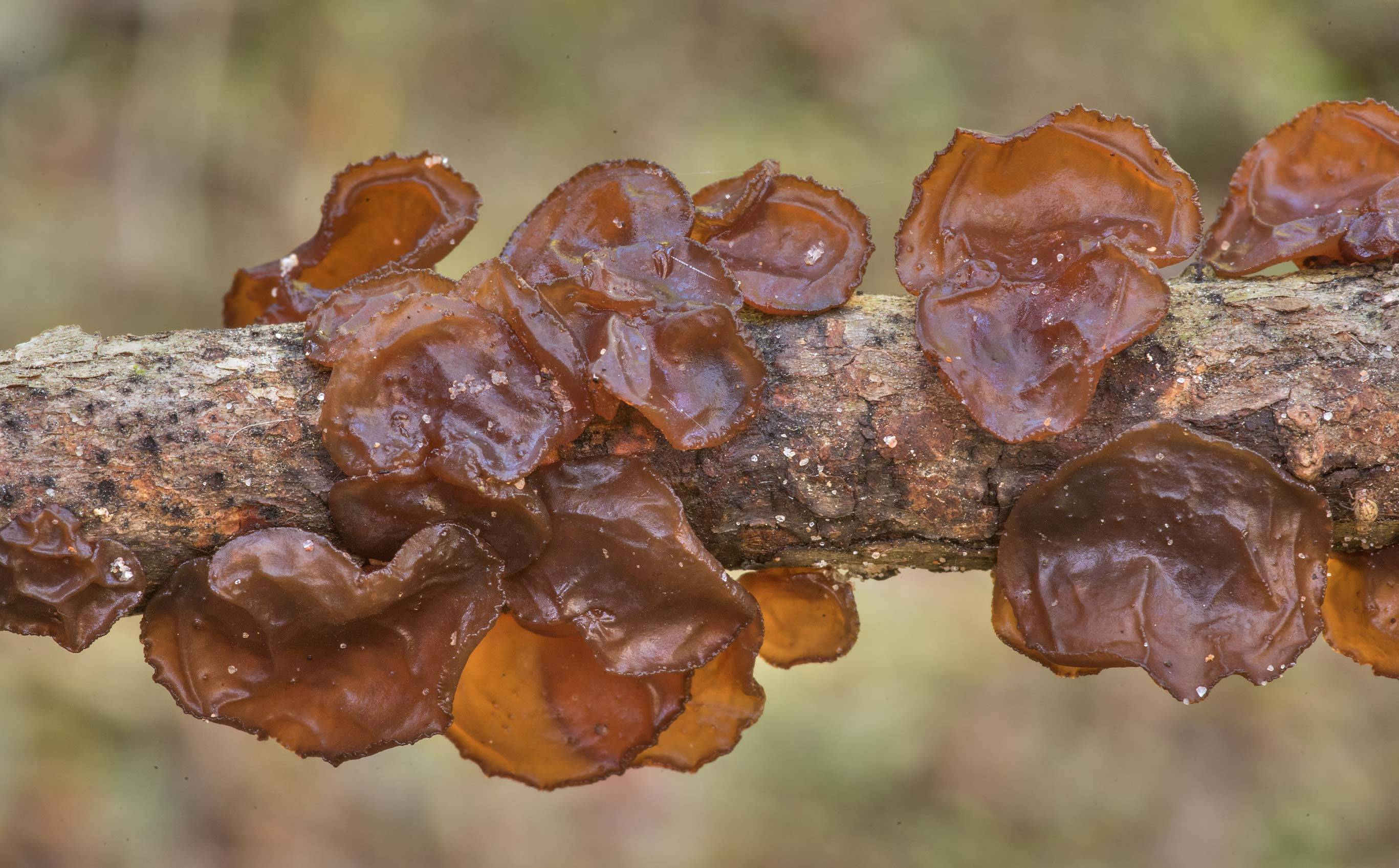 Amber jelly roll fungus Exidia crenata (Exidia...Forest north from Monrgomery. Texas