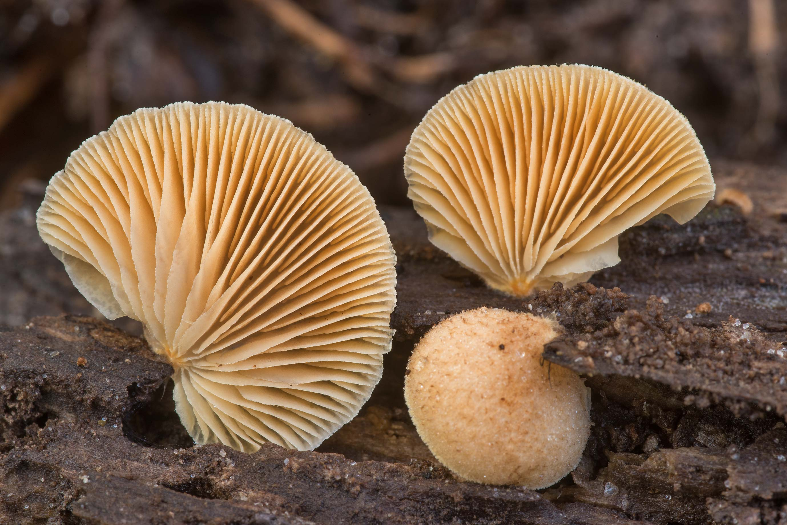 Oysterling mushrooms Crepidotus mollis on Caney...Forest north from Monrgomery. Texas
