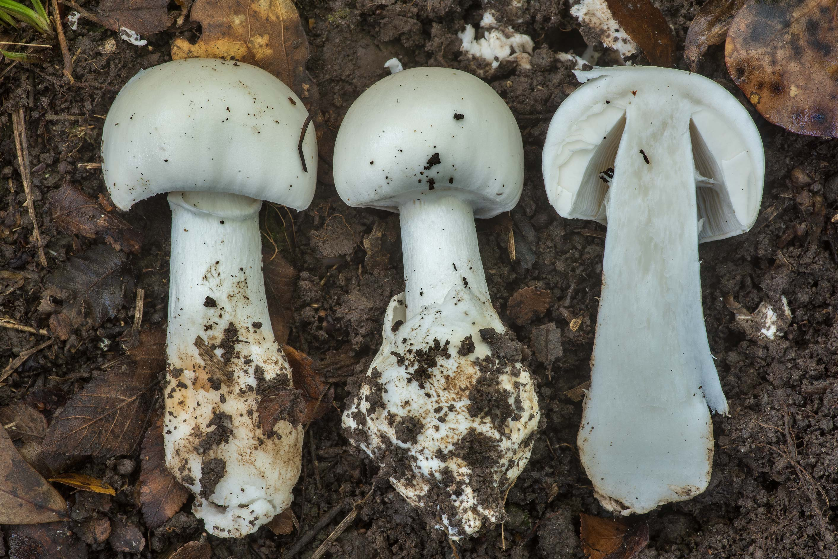 Dissected death cap mushrooms (Amanita sect...Forest north from Monrgomery. Texas