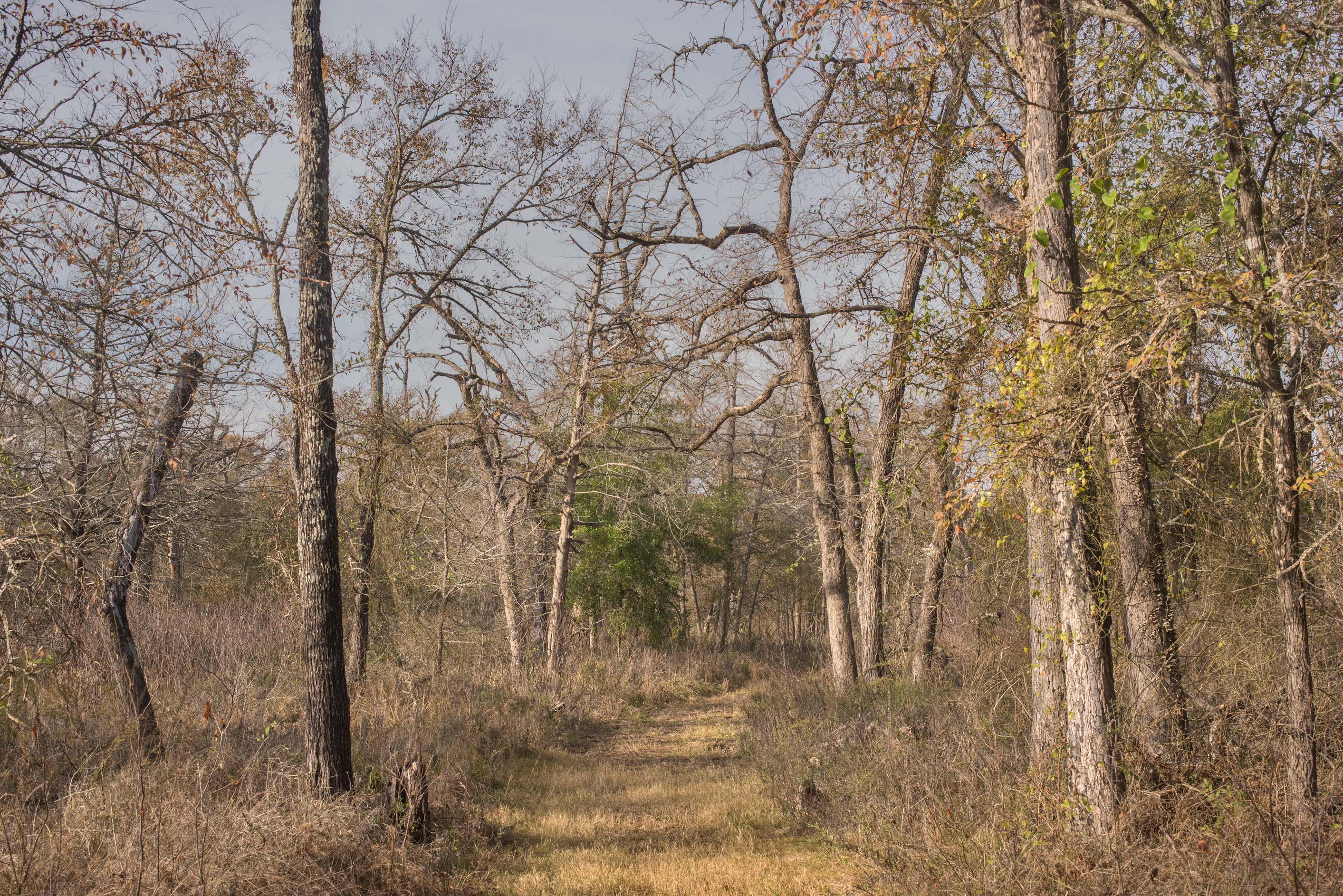 Dead oak forest at Lake Somerville Trailway near...of Somerville Lake State Park. Texas