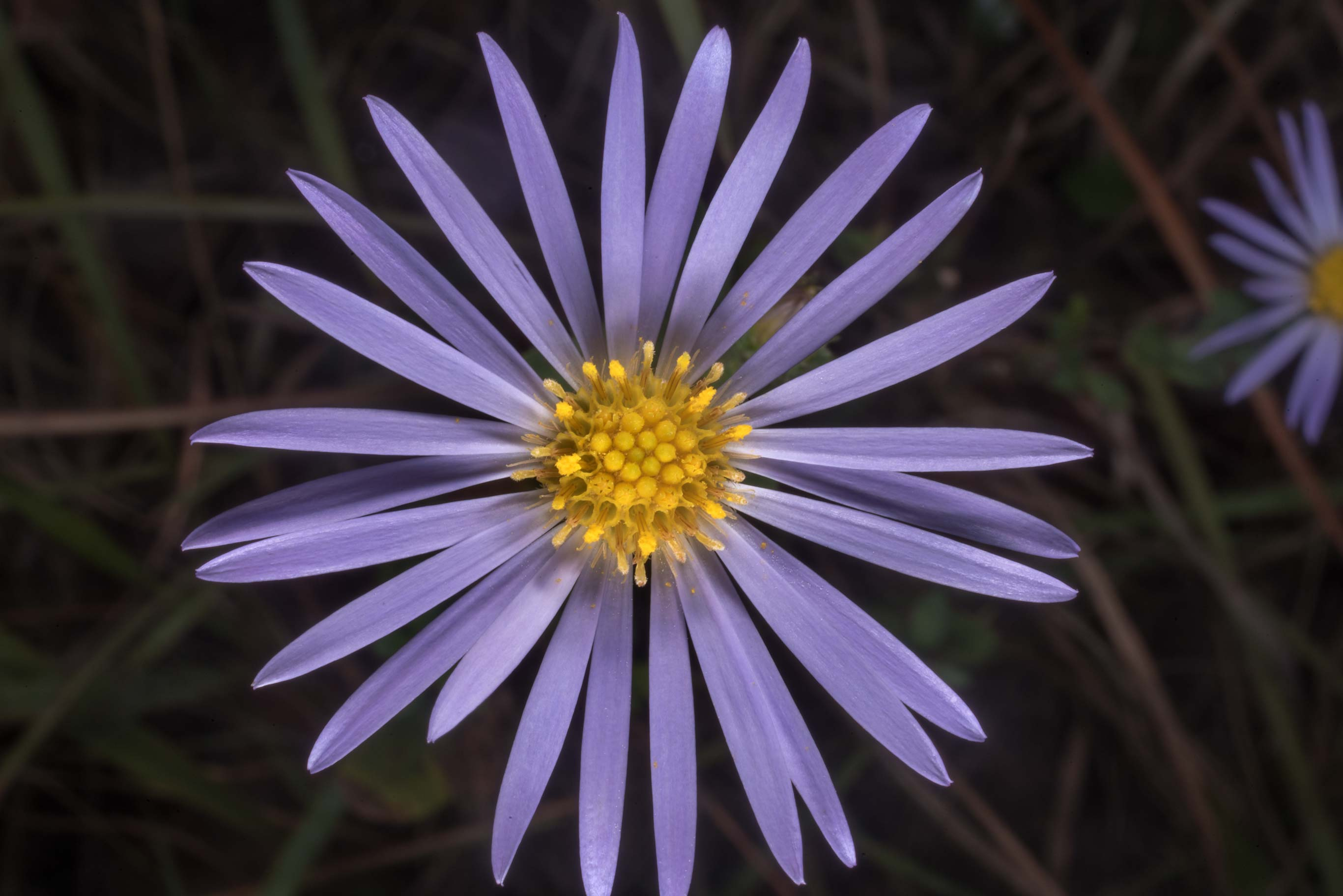 Violet flowers of southern prairie aster (Eurybia...of Somerville Lake State Park. Texas