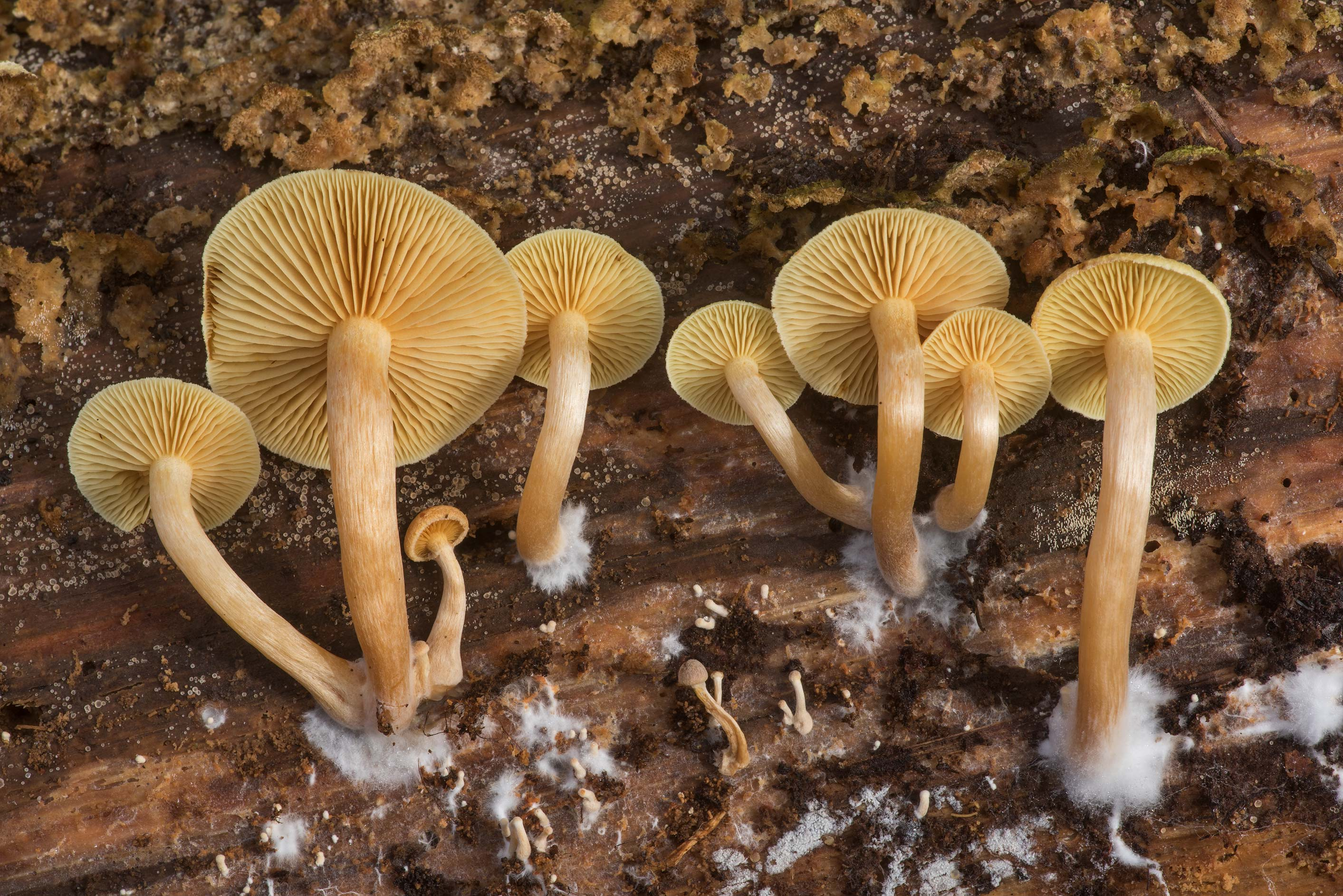 Common rustgill mushrooms (Gymnopilus penetrans...Native Plant Preserve. Warren, Texas
