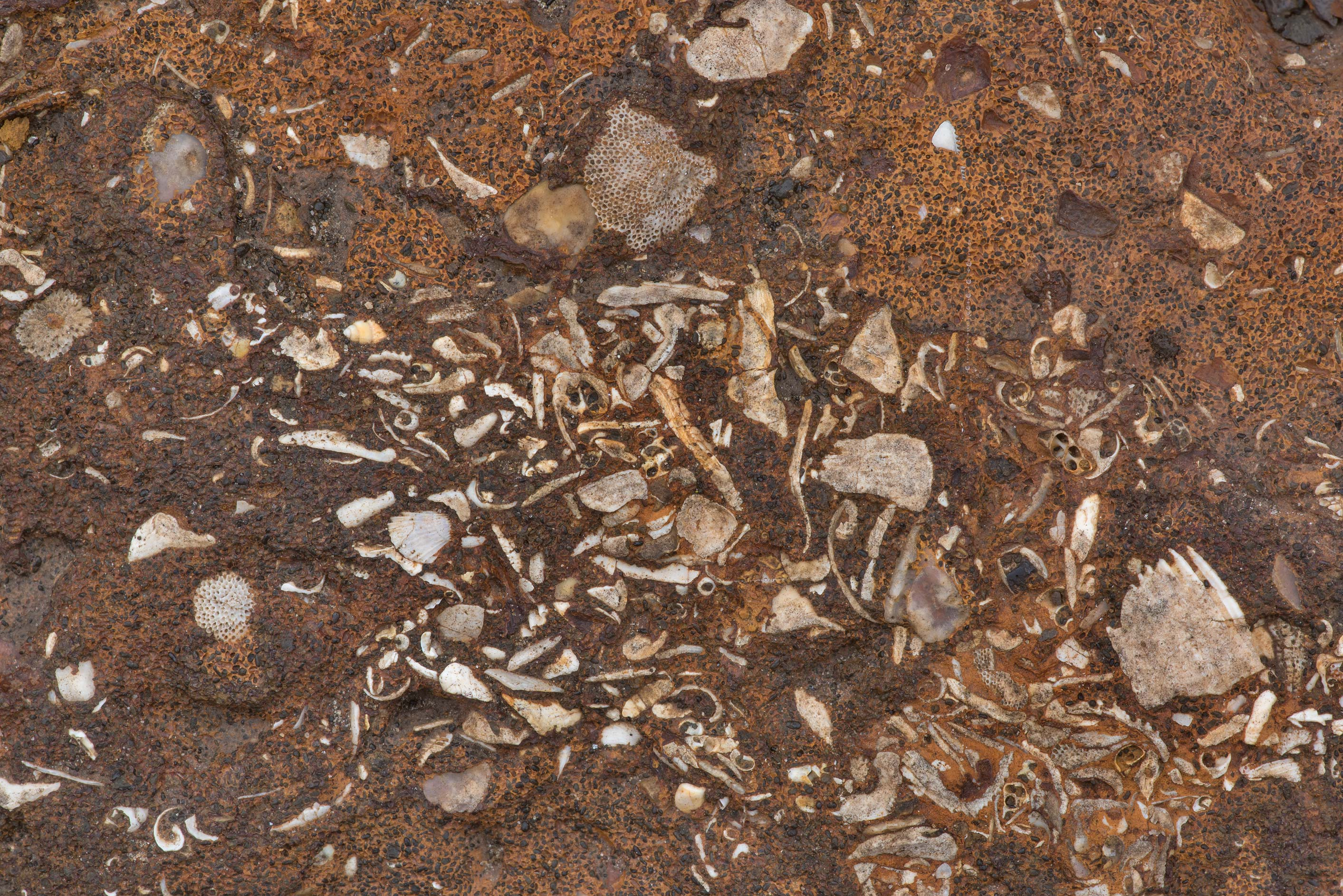 Accumulation of fossilized shells in sandstone...on Highway 21 west from Bryan. Texas