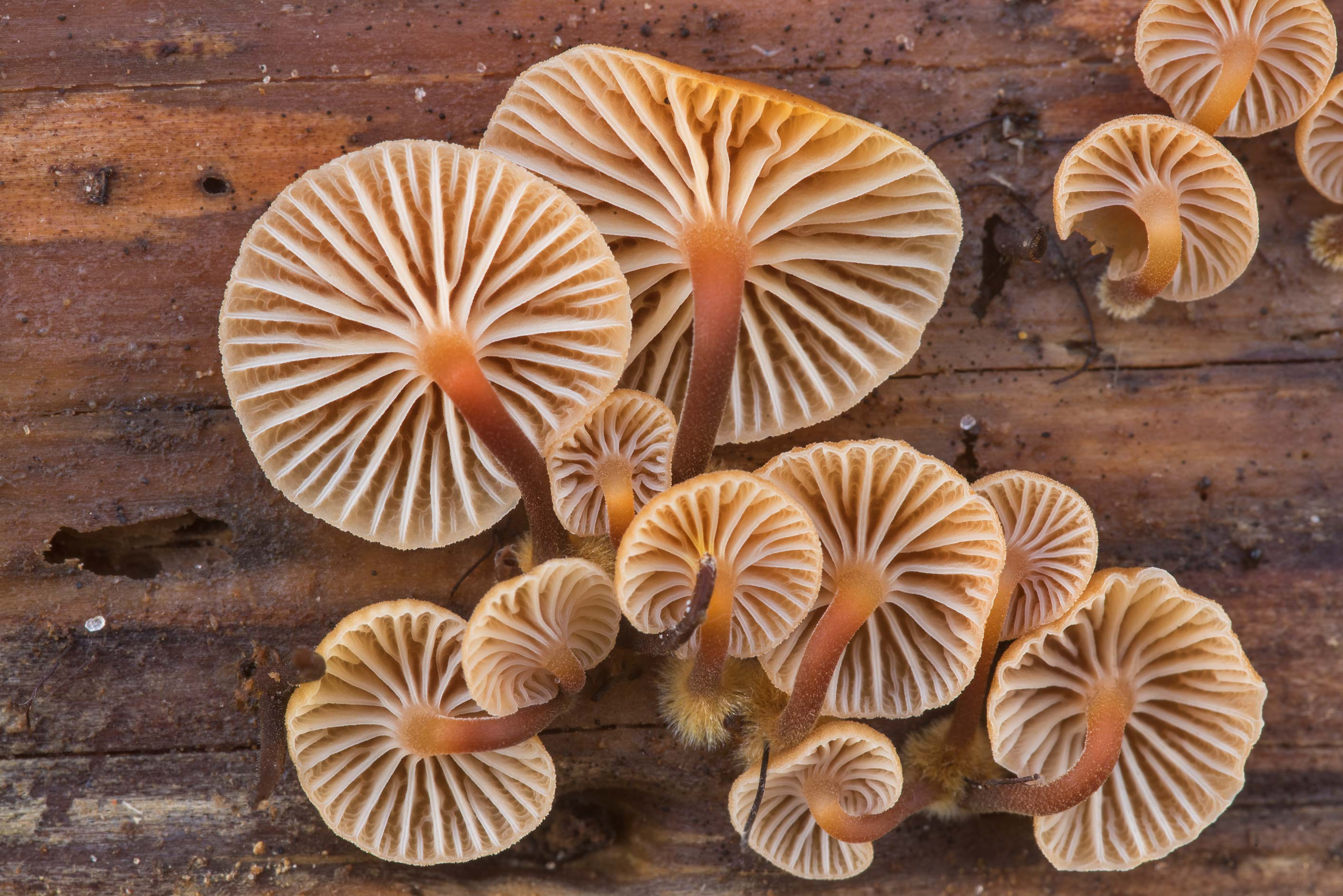Close up of gills of pinewood gingertail...Forest north from Montgomery. Texas