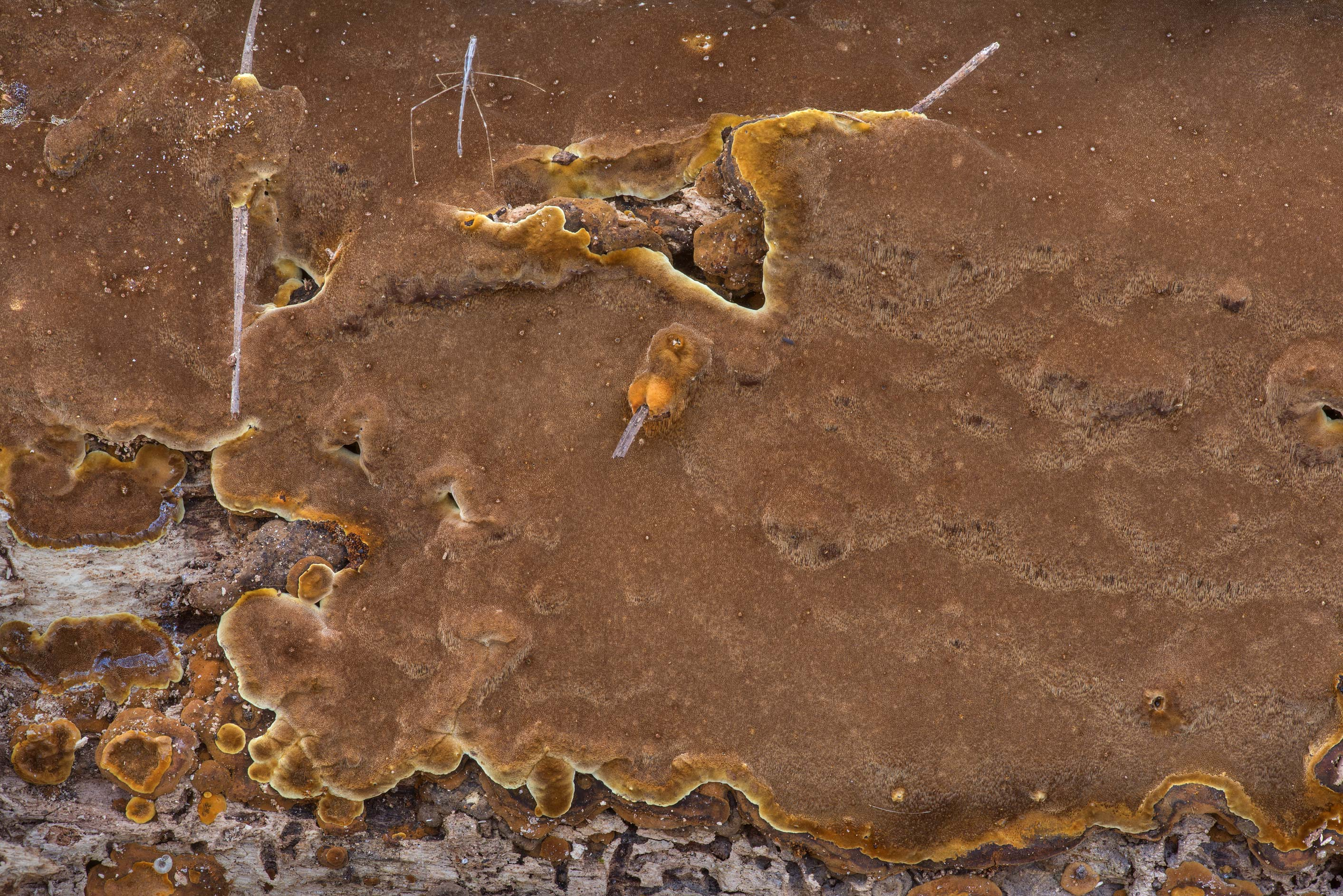 Texture of brown velvety resupinate polypore...Forest north from Montgomery. Texas