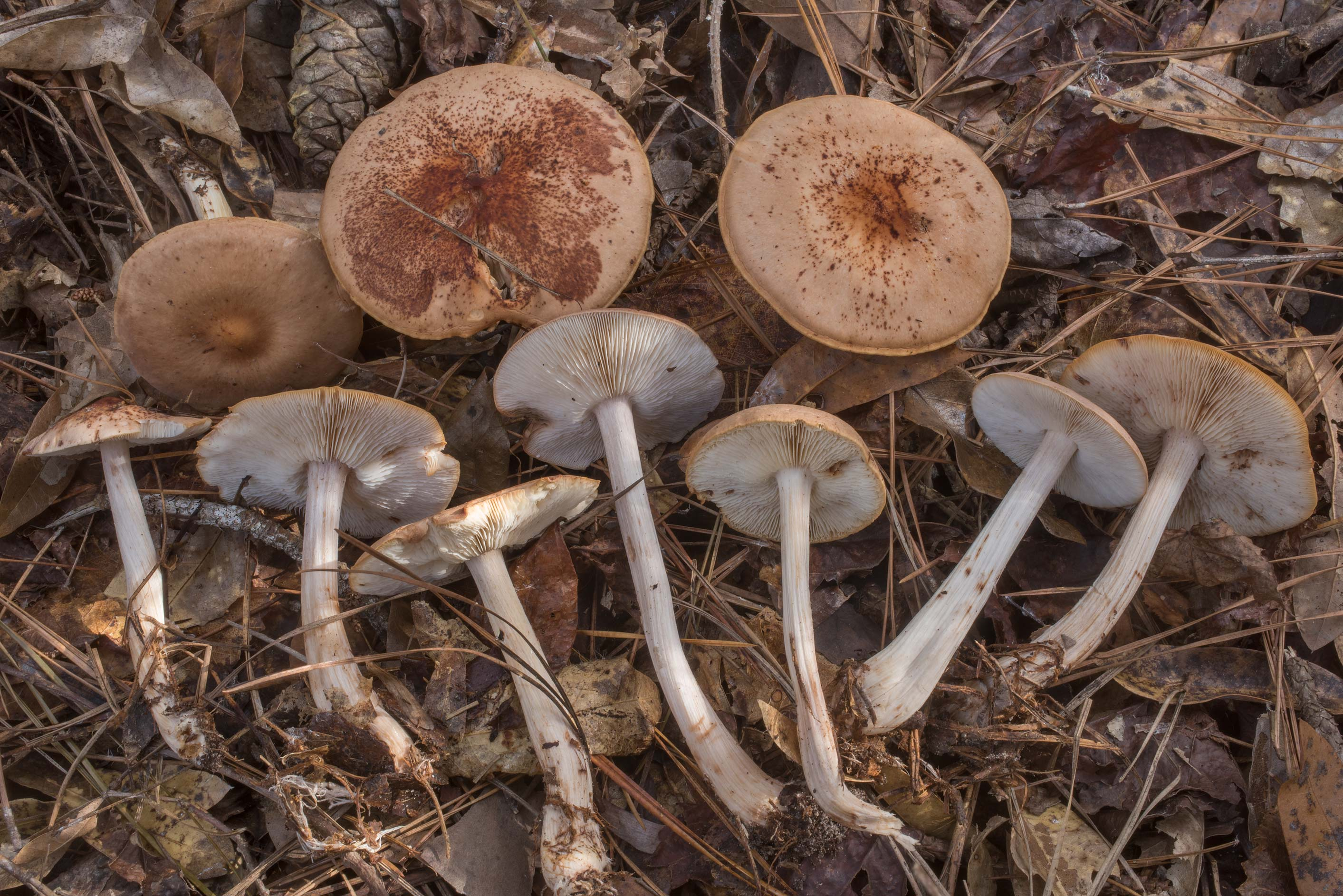Spotted toughshank mushrooms (Rhodocollybia...National Forest. Cleveland, Texas