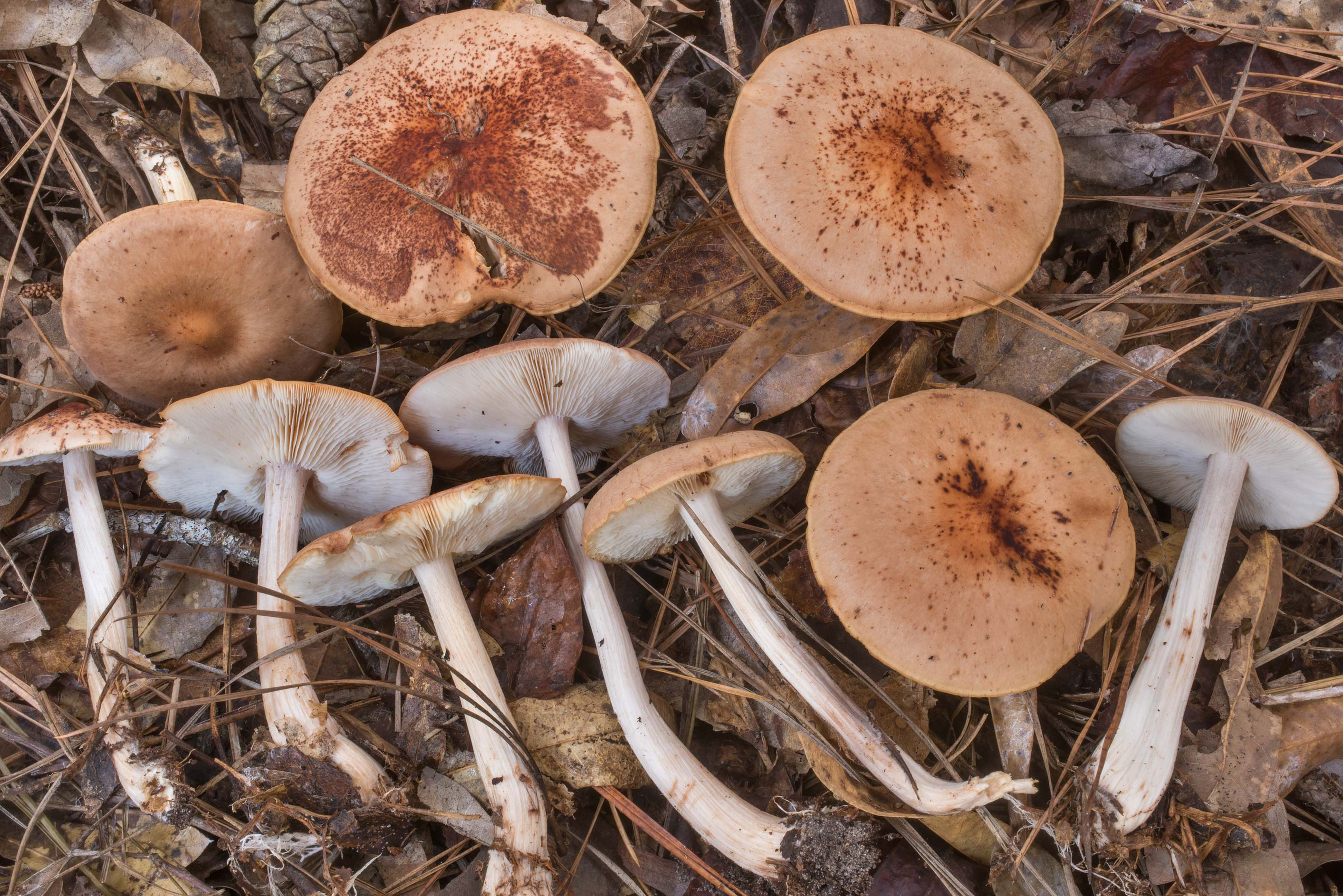 Group of spotted toughshank mushrooms...National Forest. Cleveland, Texas