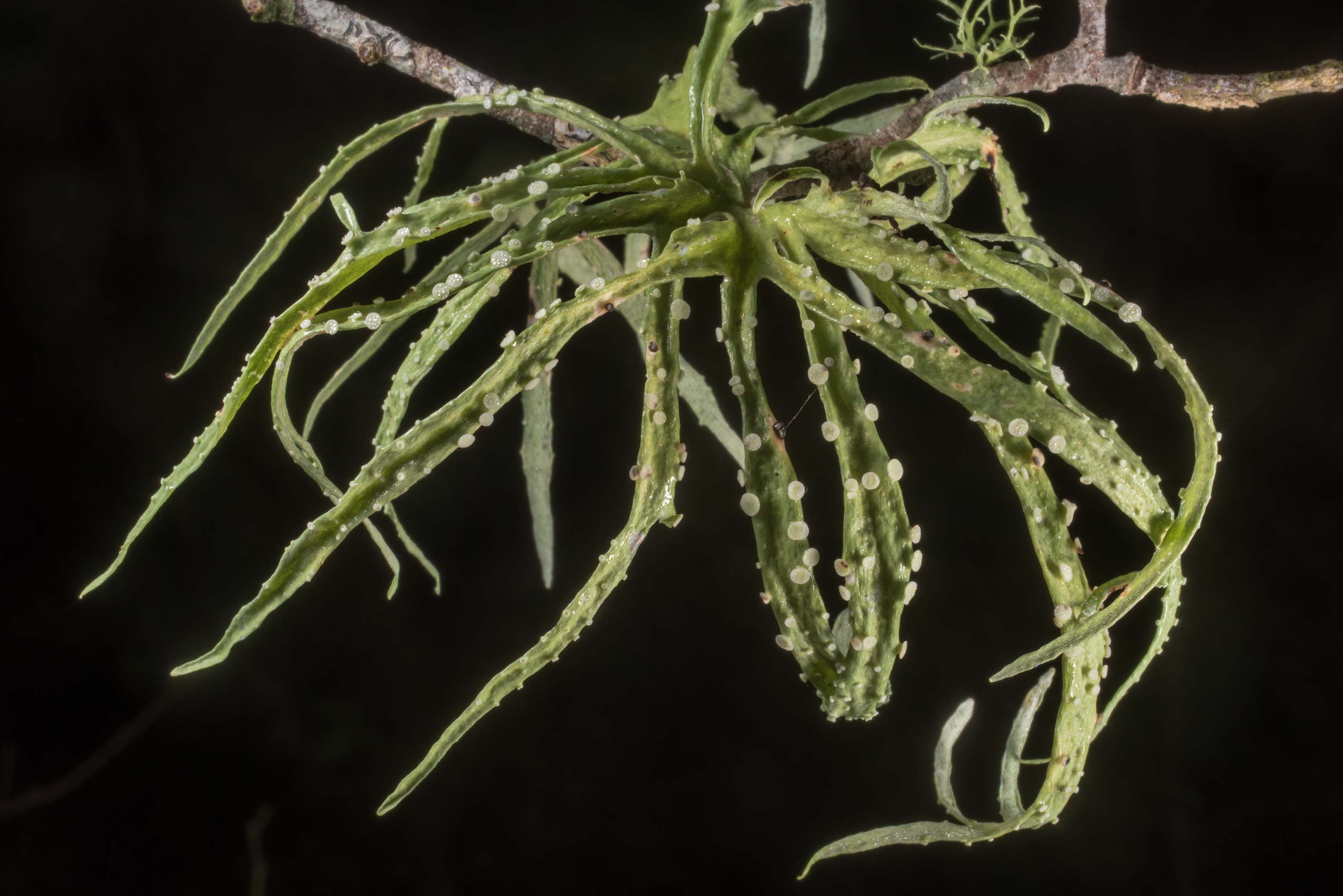 Octopus-like palmetto lichen (Ramalina celastri...State Historic Site. Washington, Texas
