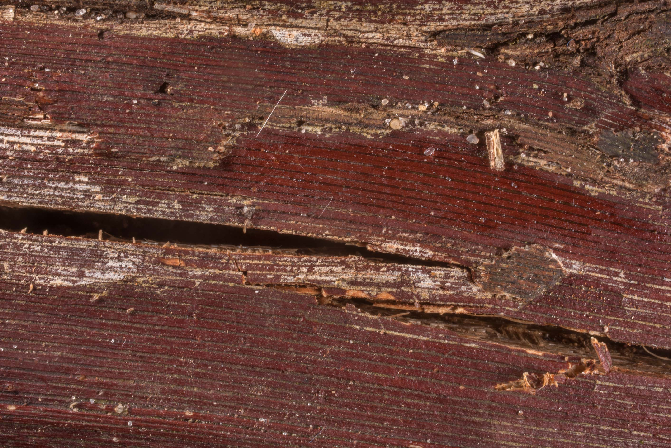 Dark brown texture of trumpet wine wood in...State Historic Site. Washington, Texas