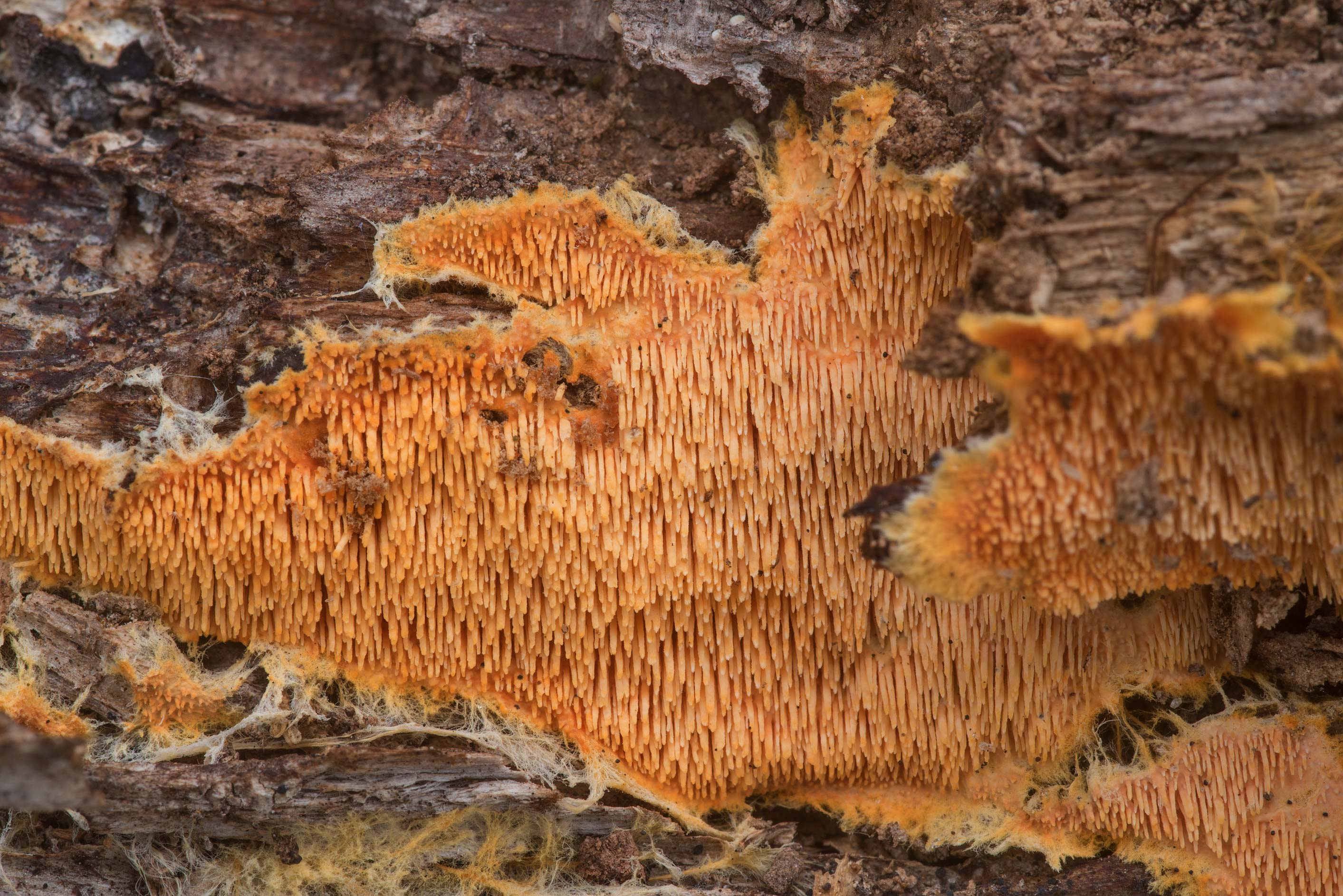 Close up of orange tooth fungus Hydnophlebia...Creek Park. College Station, Texas