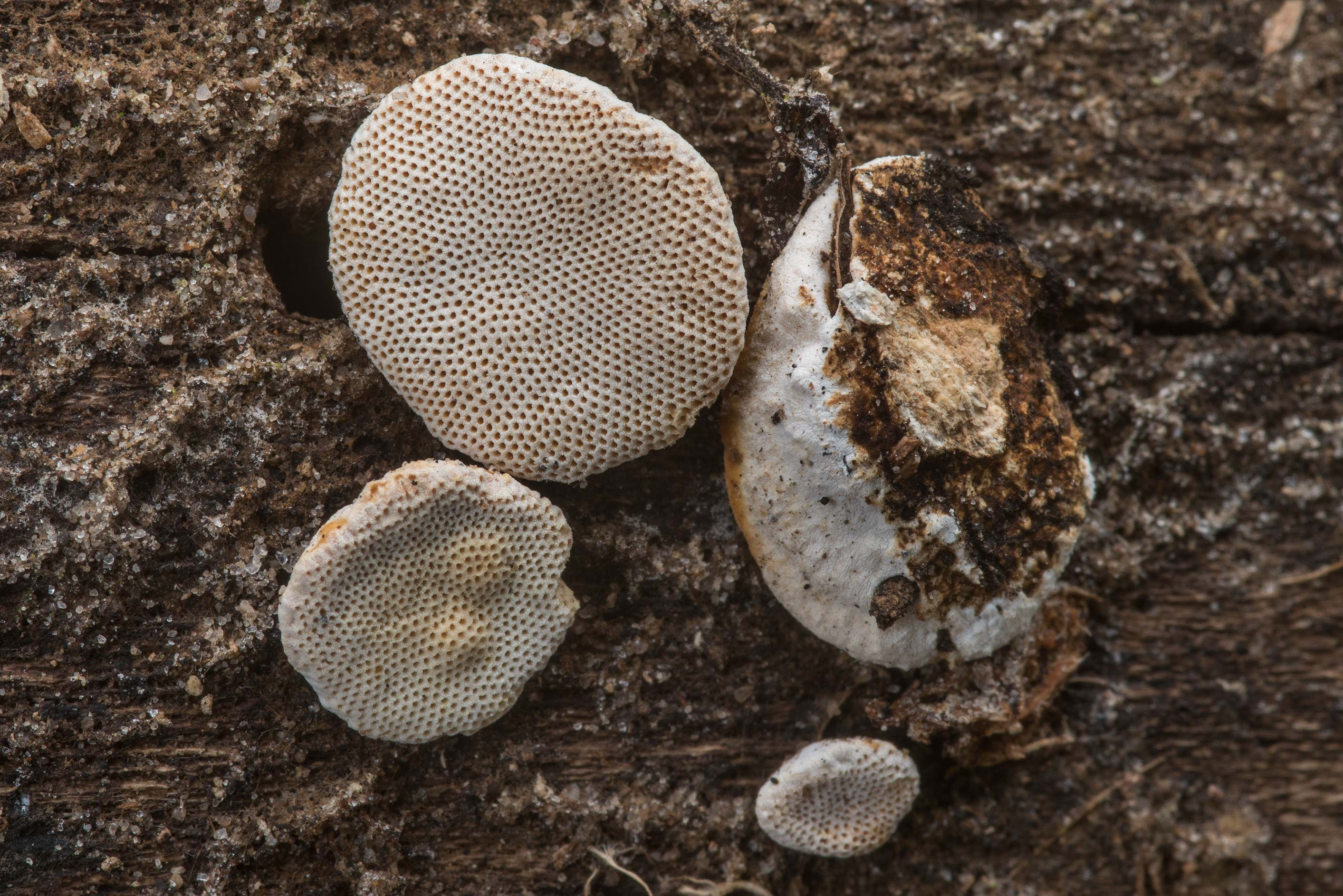 Small polypore mushrooms Truncospora floridana on...Creek Park. College Station, Texas
