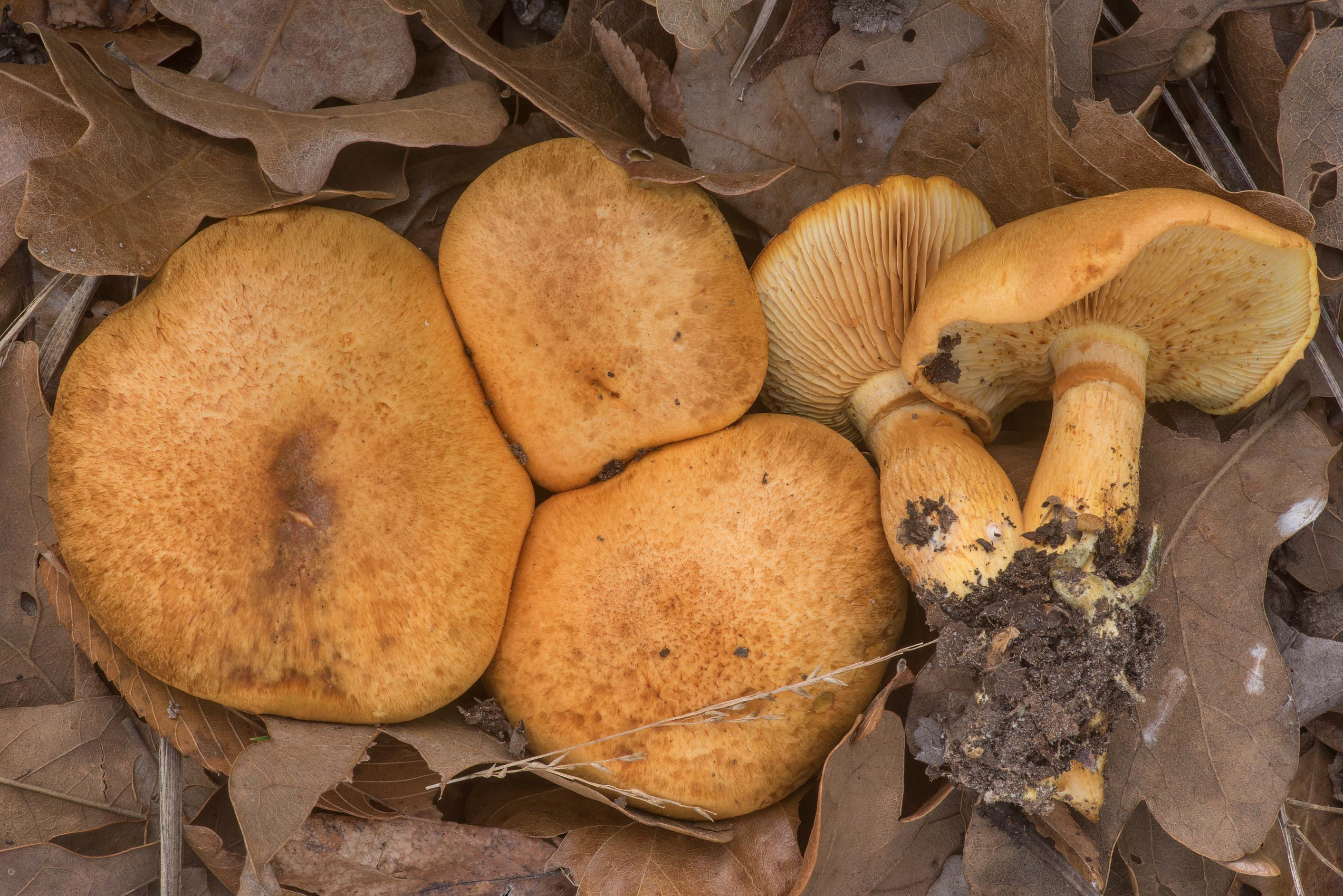 Spectacular rustgill mushrooms (Gymnopilus...Creek Park. College Station, Texas
