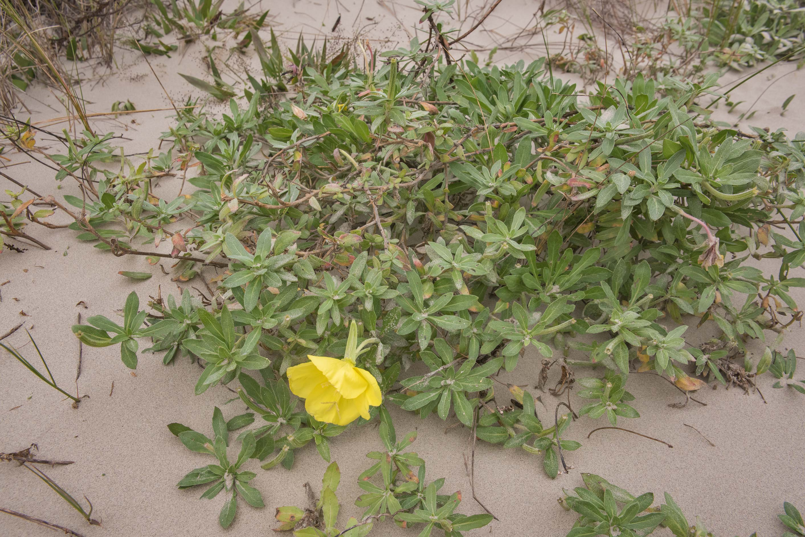 Beach evening primrose (Oenothera drummondii...in Ro Apffel Park. Galveston, Texas