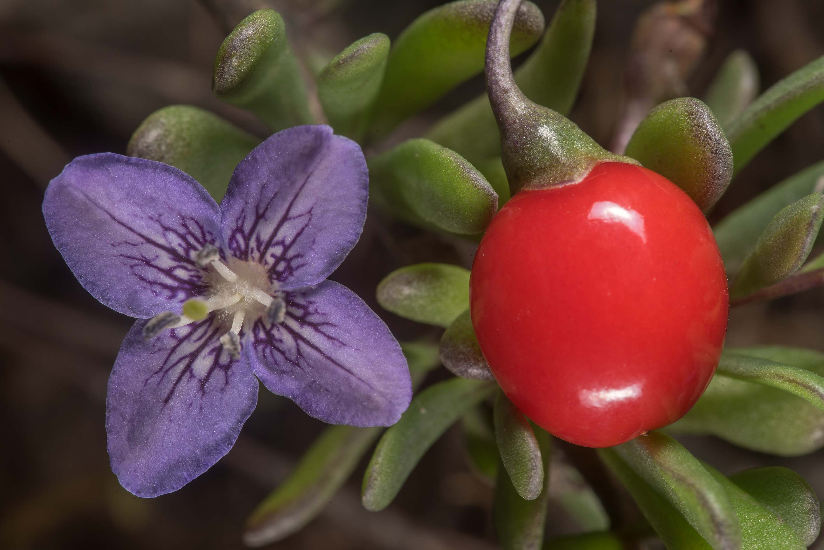 Flower and red berry of Carolina wolfberry (box...in Galveston Island State Park. Texas