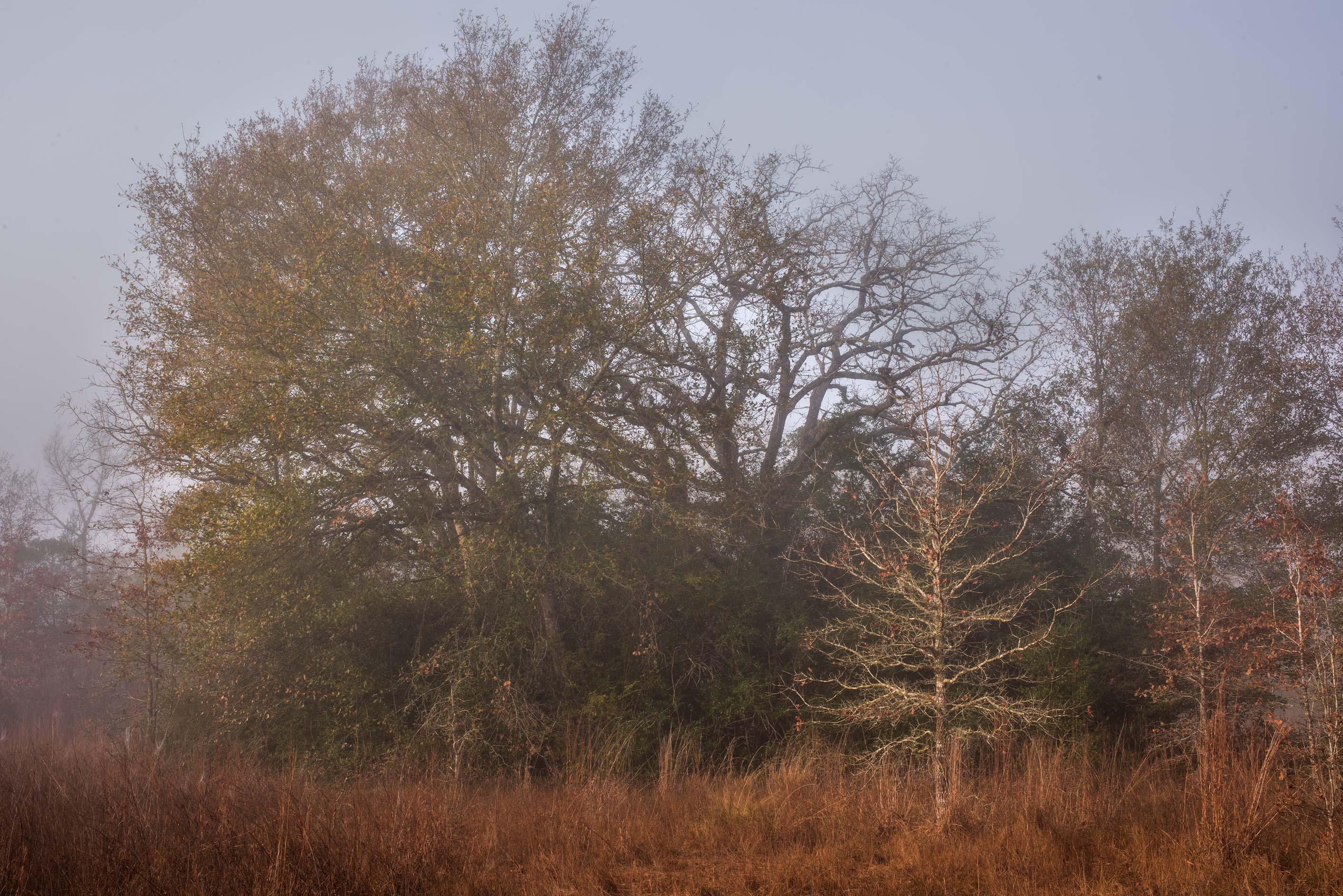 Prairie and oaks in mist in Lick Creek Park. College Station, Texas