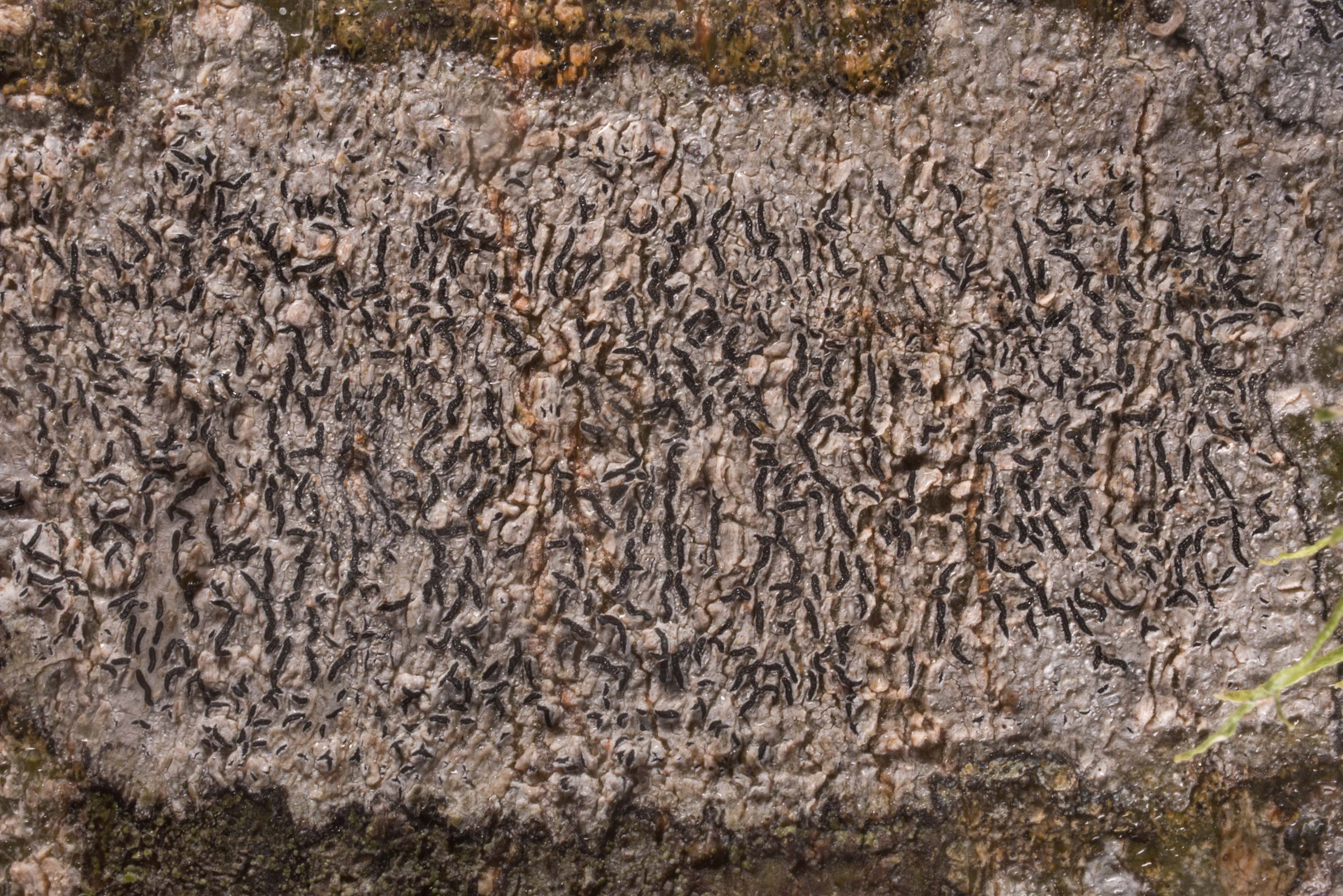 Details of script lichen (Graphis) on bark of...State Historic Site. Washington, Texas