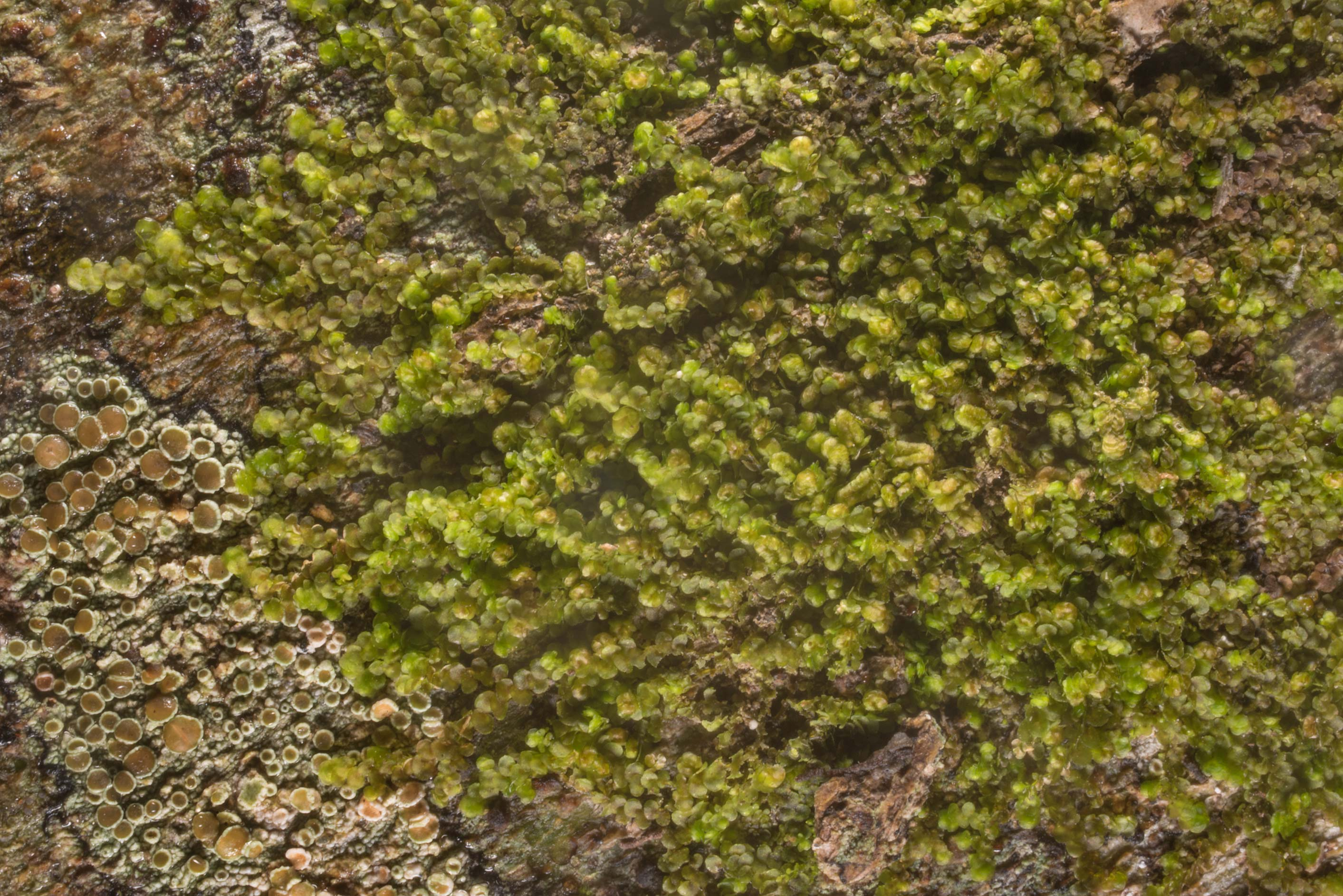 Some green liverwort and lichens on bark of...State Historic Site. Washington, Texas