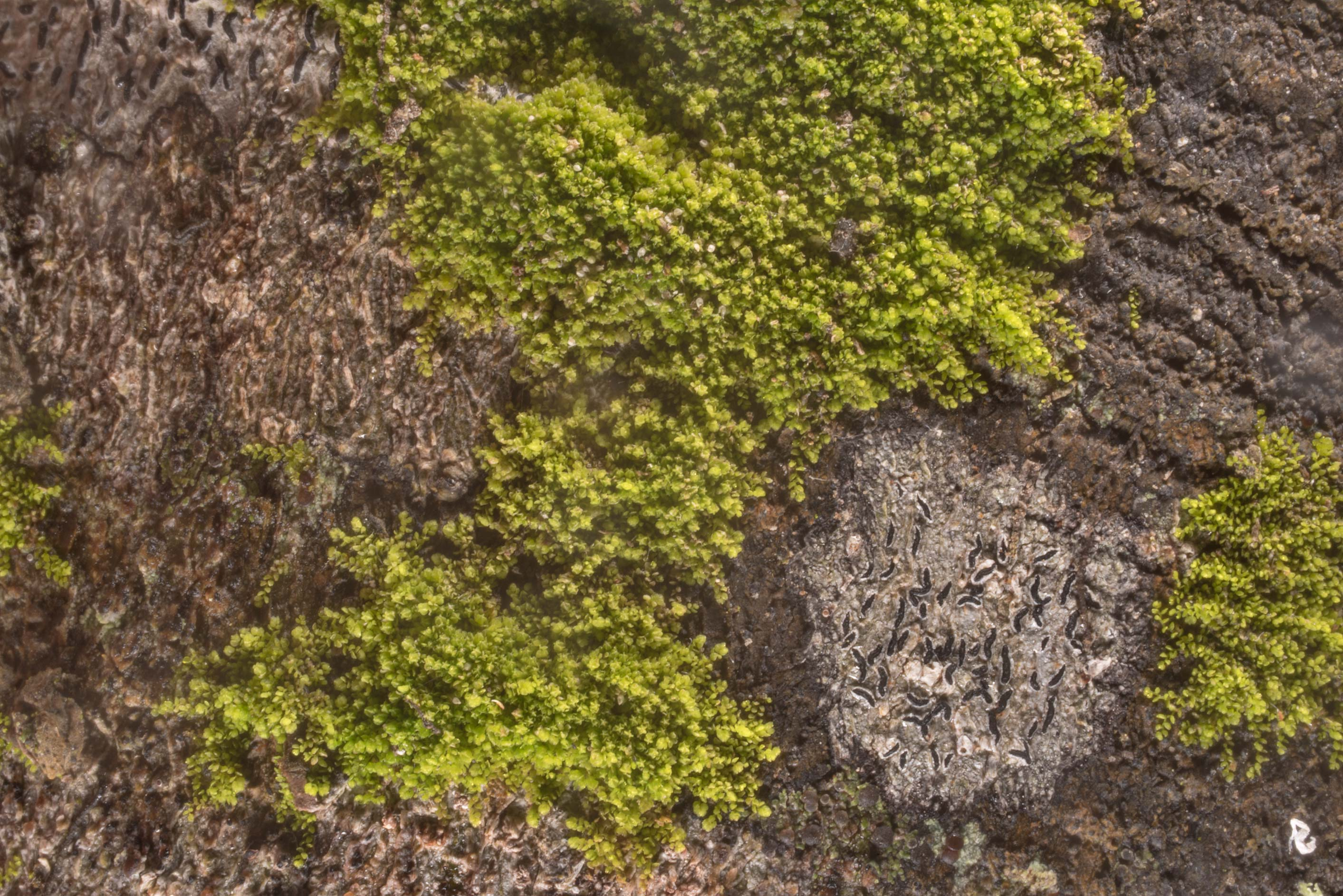 Tiny green liverwort and Graphis lichen on bark...State Historic Site. Washington, Texas