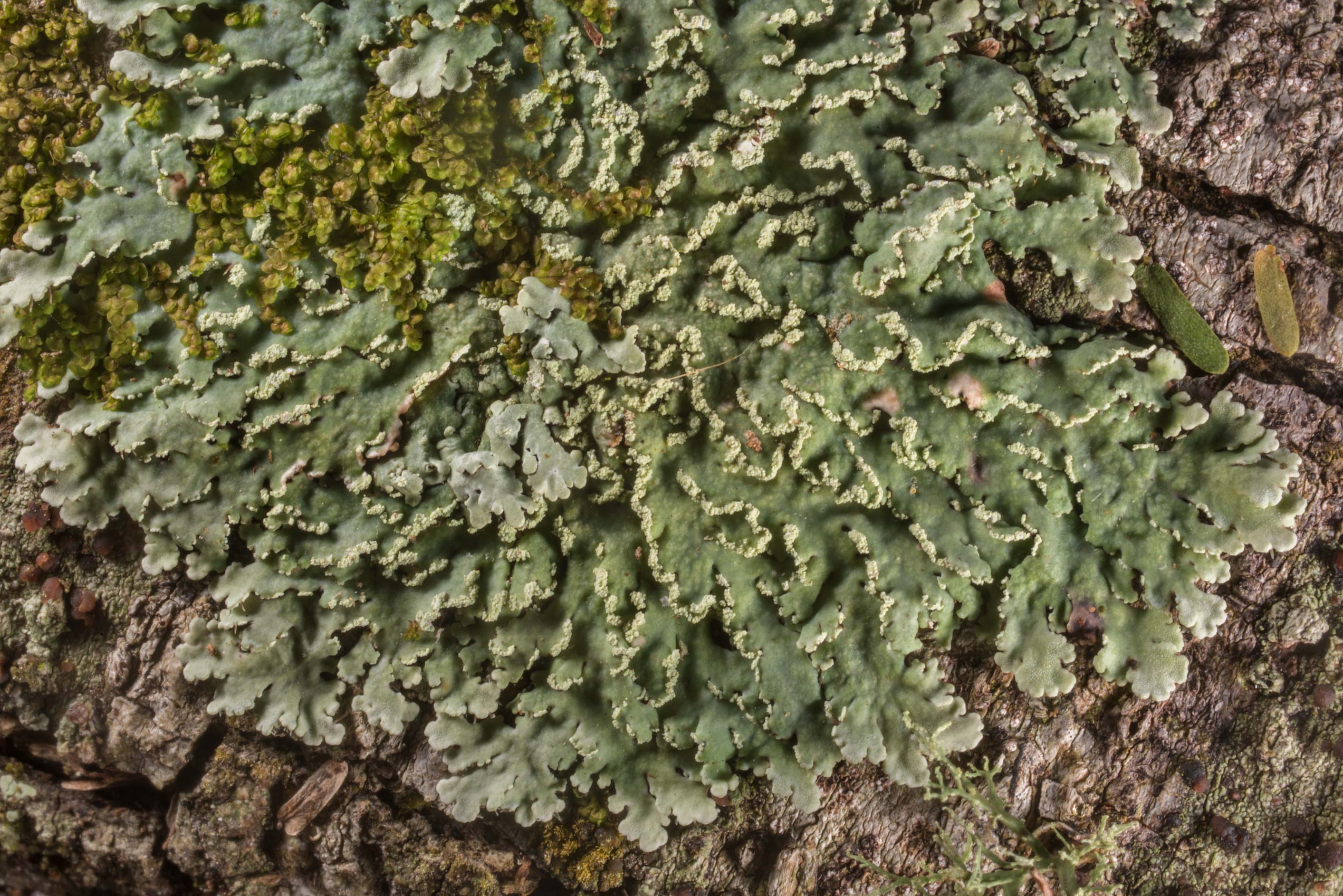 White fringe lichen (Heterodermia albicans) and...State Historic Site. Washington, Texas