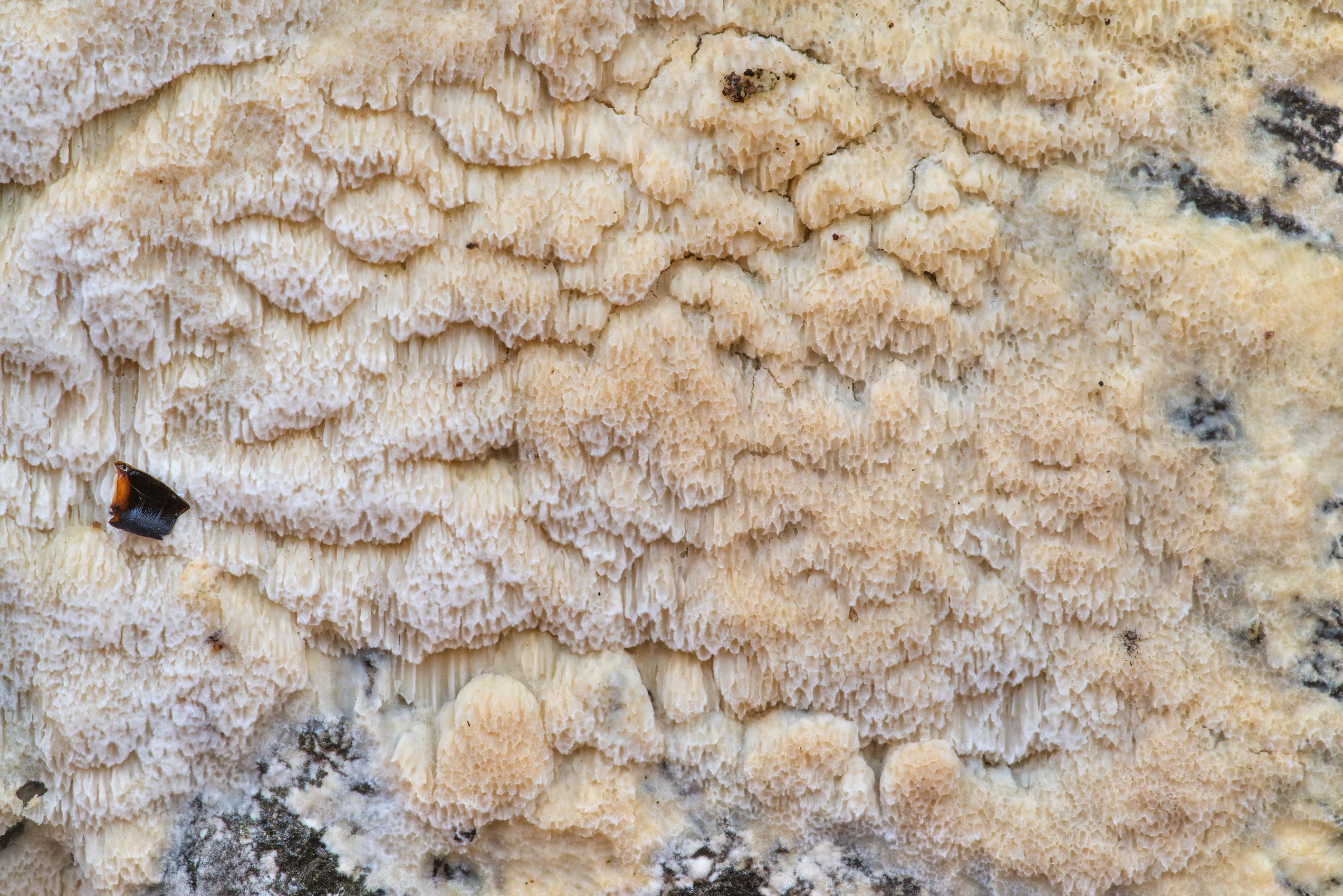 Texture of thin Physisporinus mushroom on a...in Sam Houston National Forest. Texas
