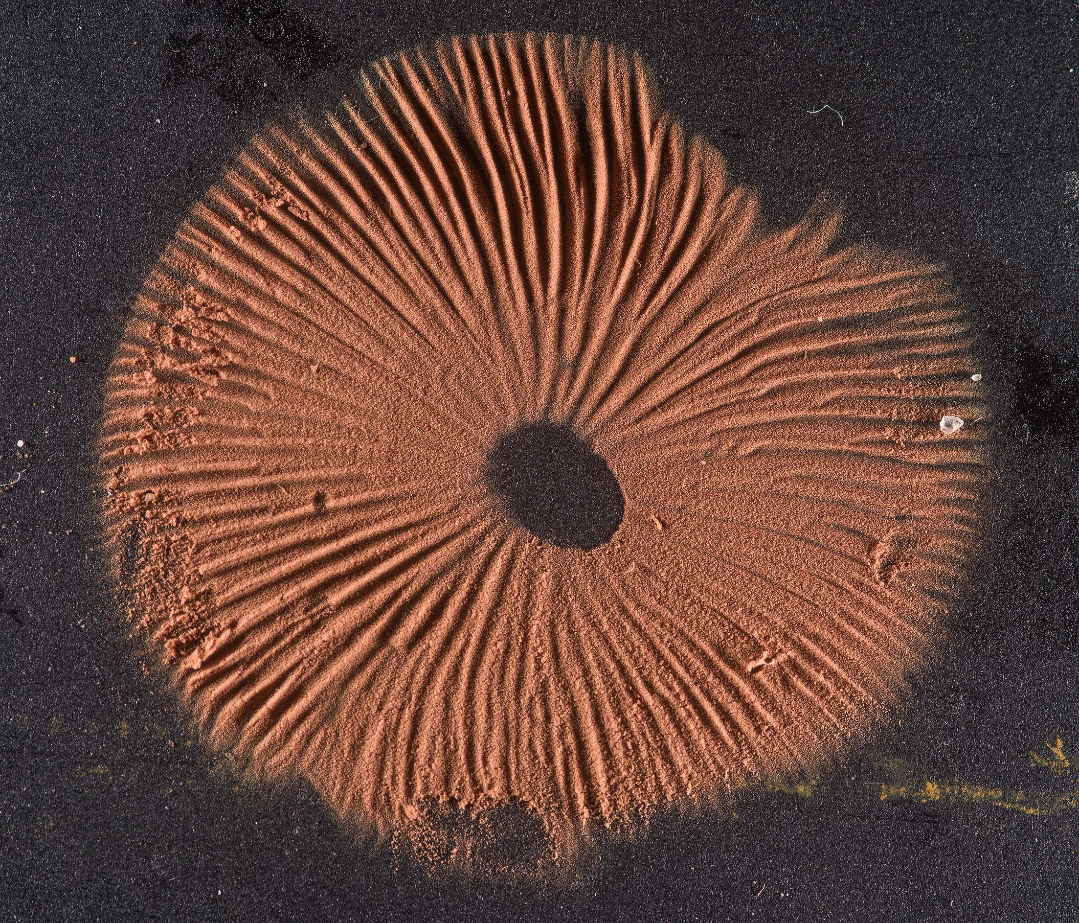 Brown spore print of a pinkgill mushroom Entoloma...Houston Forest. College Station, Texas