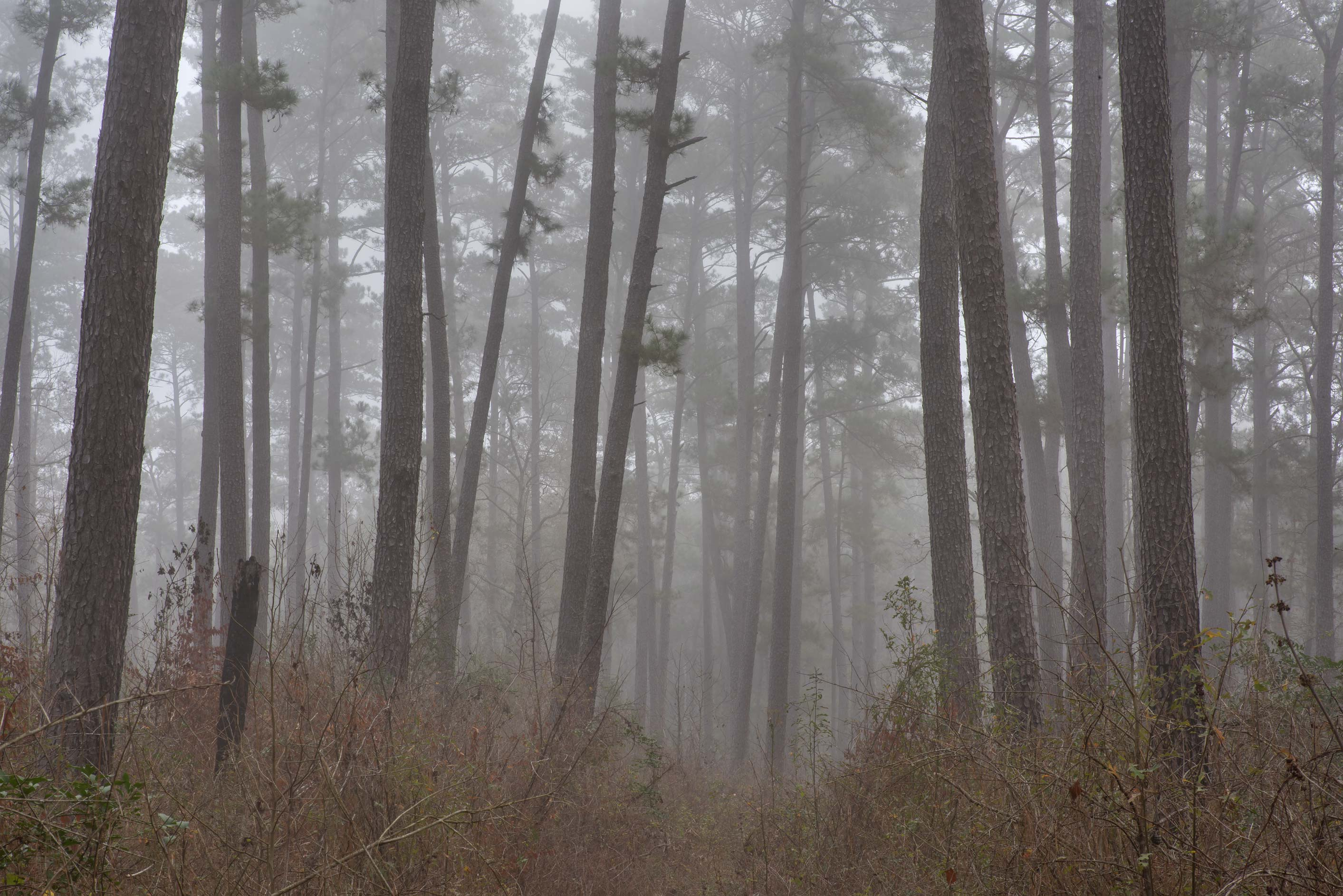 Pine contours in fog south-west from Trail Head...Forest, north from Montgomery. Texas