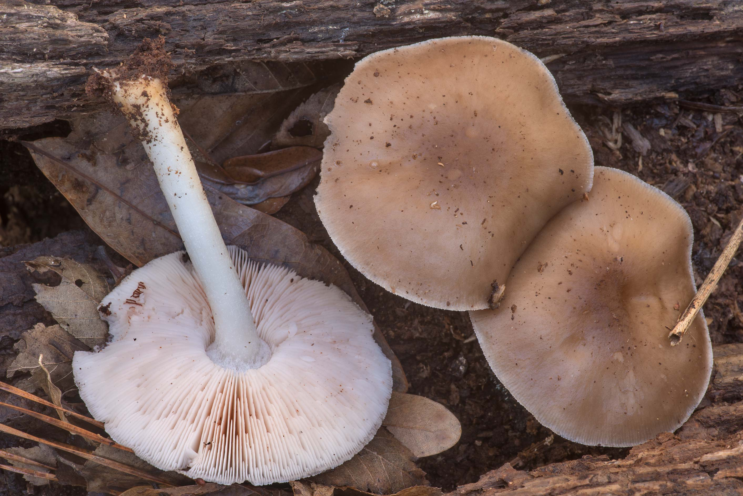 Deer shield mushrooms (Pluteus cervinus) on a...Forest north from Montgomery. Texas