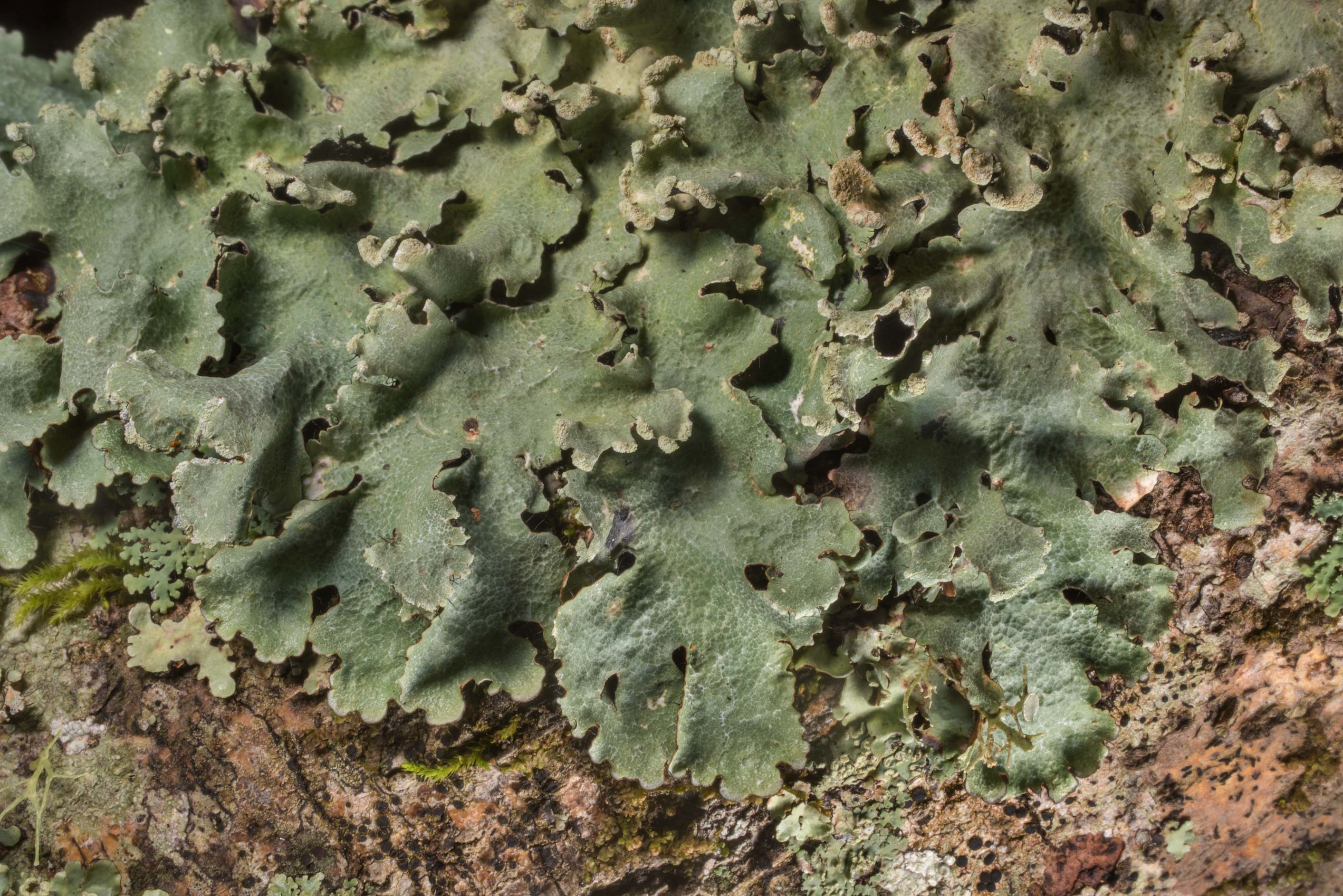 Cracked ruffle lichen (Parmotrema reticulatum) on...Creek Park. College Station, Texas
