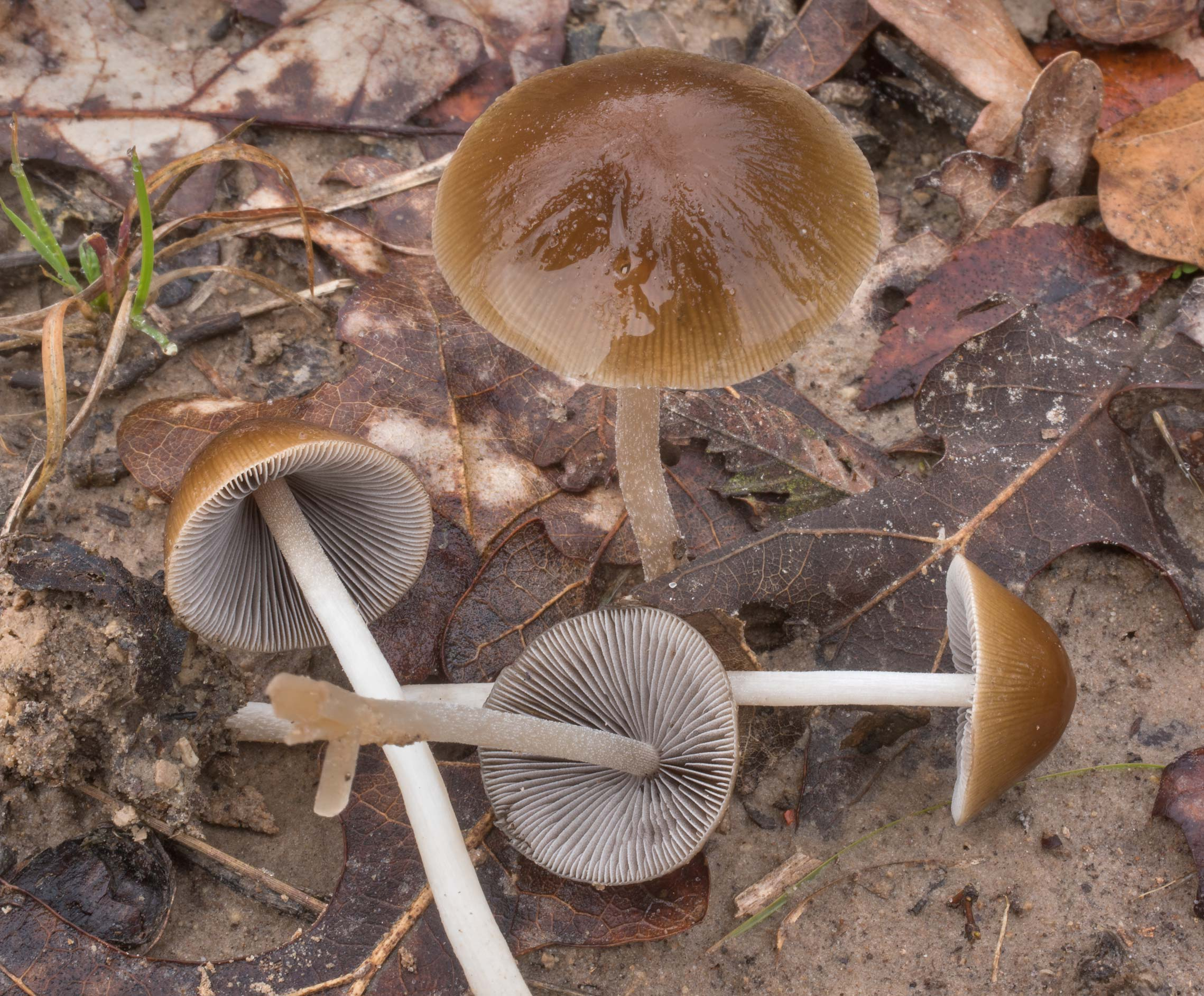 Brittlestem mushrooms Psathyrella umbonata on a...Creek Park. College Station, Texas