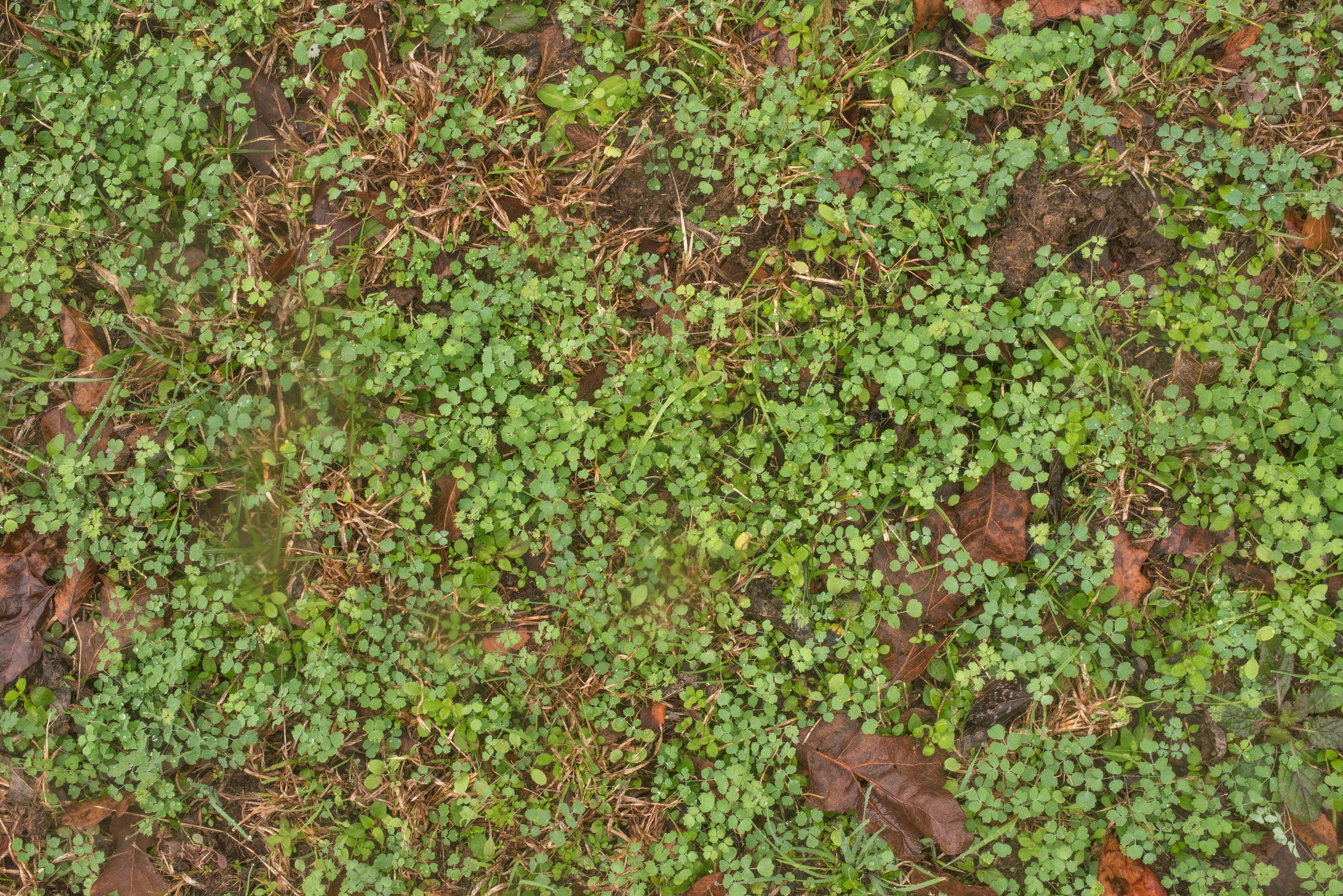 Carpet of Houston Meadow-rue (Thalictrum texanum...Washington Cemetery. Washington, Texas