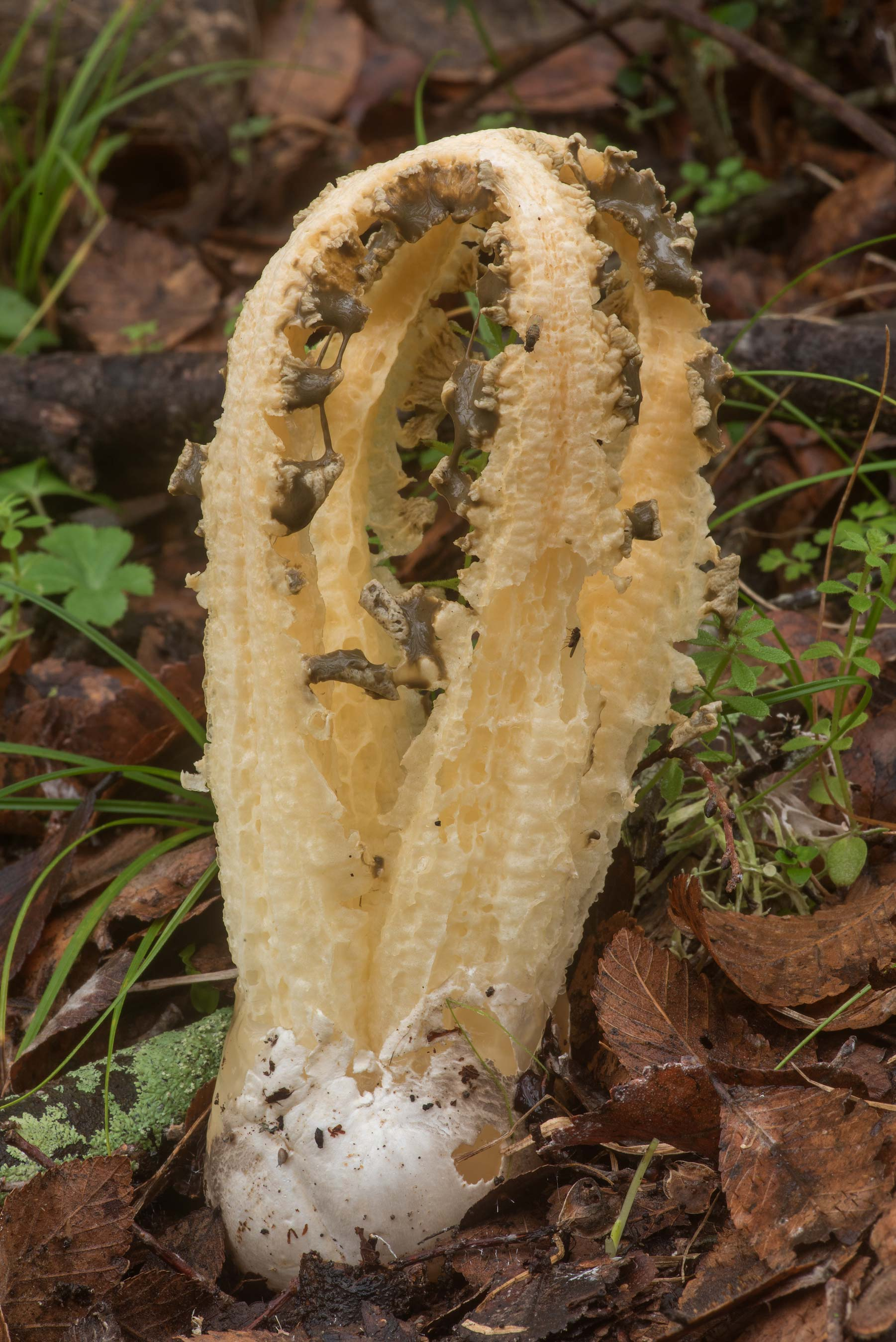 Side view of a stinkhorn mushroom Blumenavia...State Historic Site. Washington, Texas