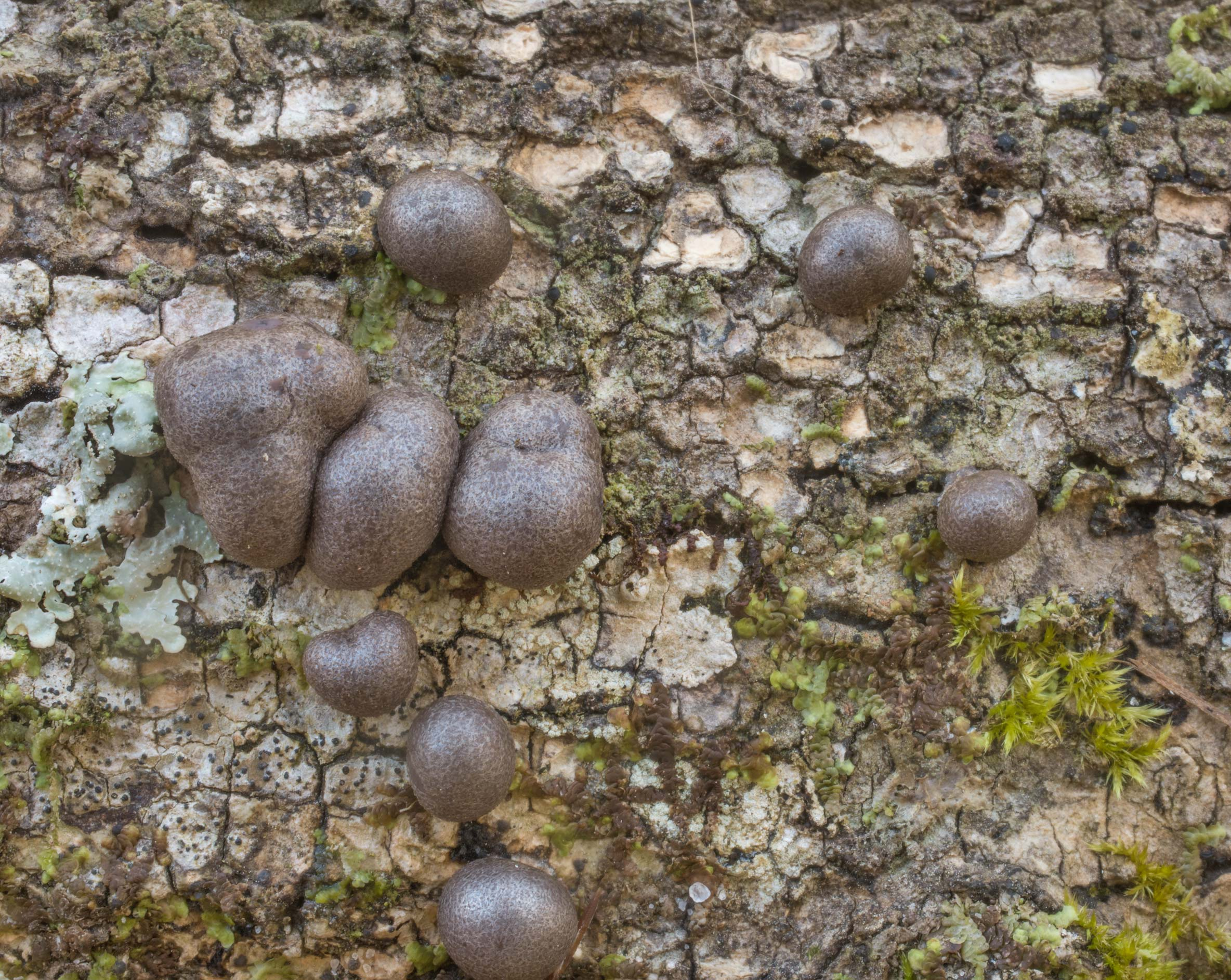 Wolf's milk slime mold (Lycogala epidendrum) on a...National Forest. Shepherd, Texas
