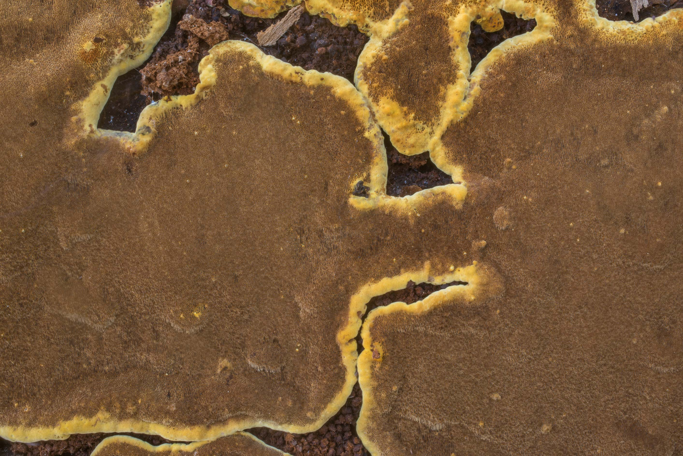 Close-up of brown resupinate polypore mushroom...Creek Park. College Station, Texas