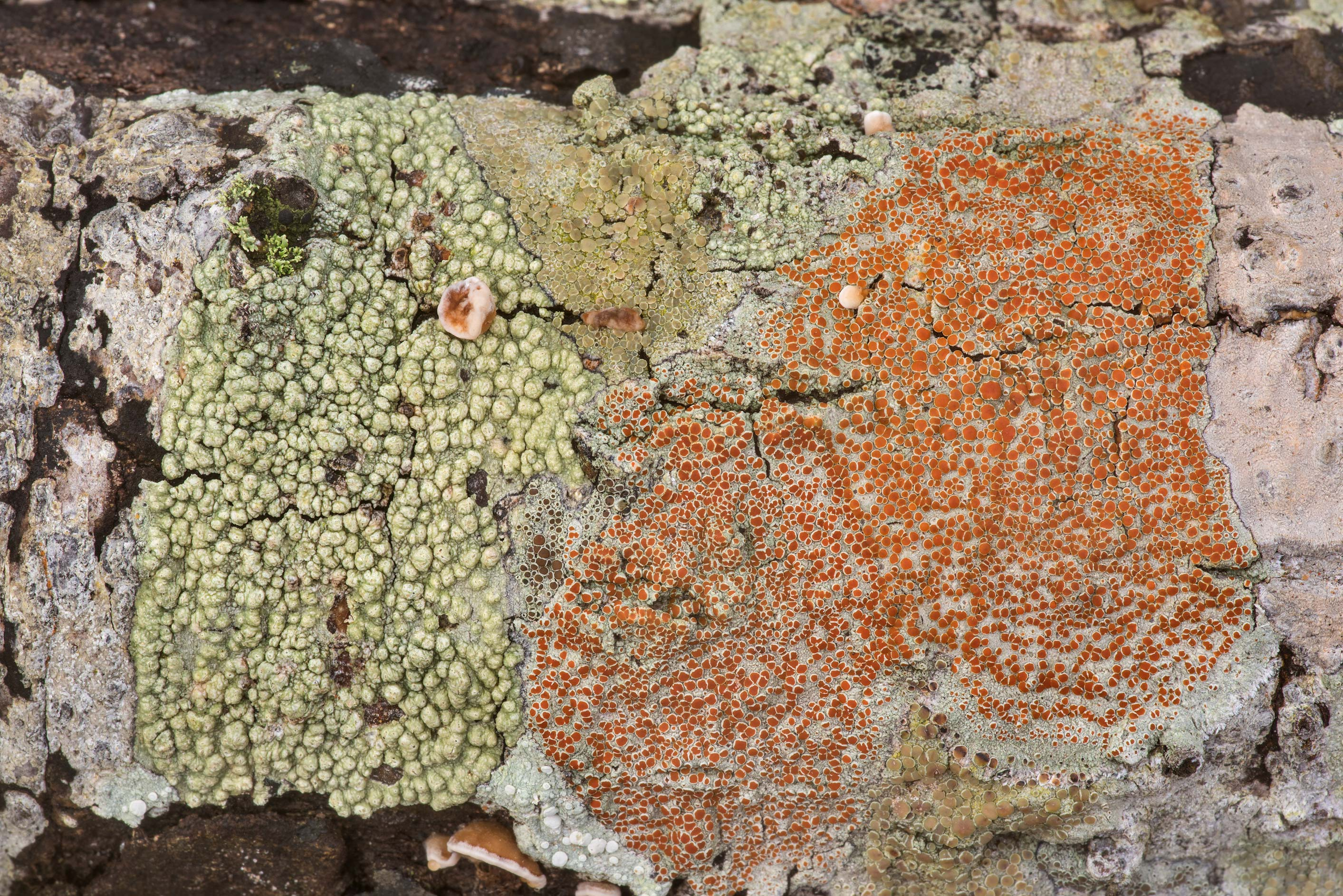 Various lichens on a dry oak in Lick Creek Park. College Station, Texas