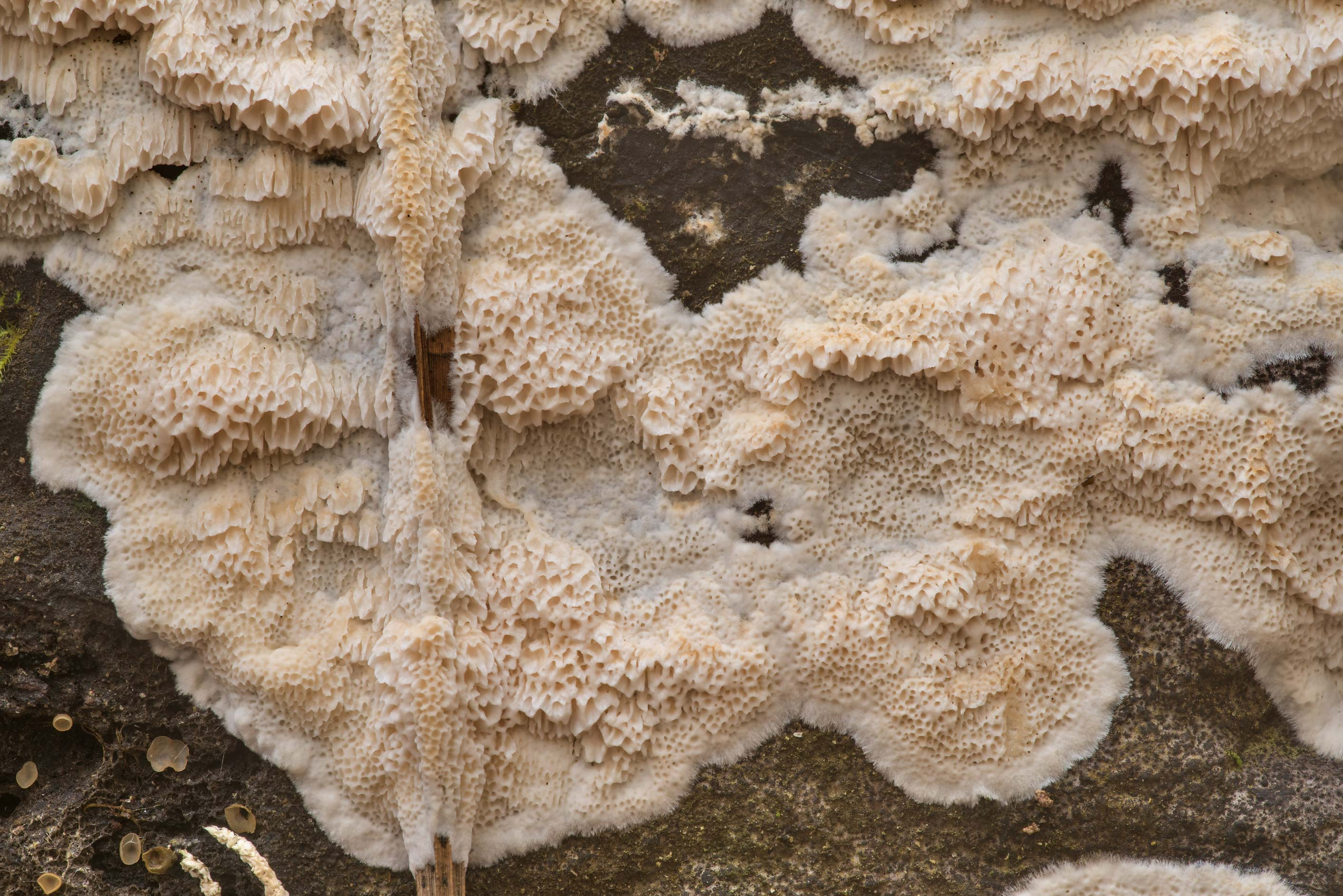 Details of creme white Physisporinus mushroom on...Forest north from Montgomery. Texas