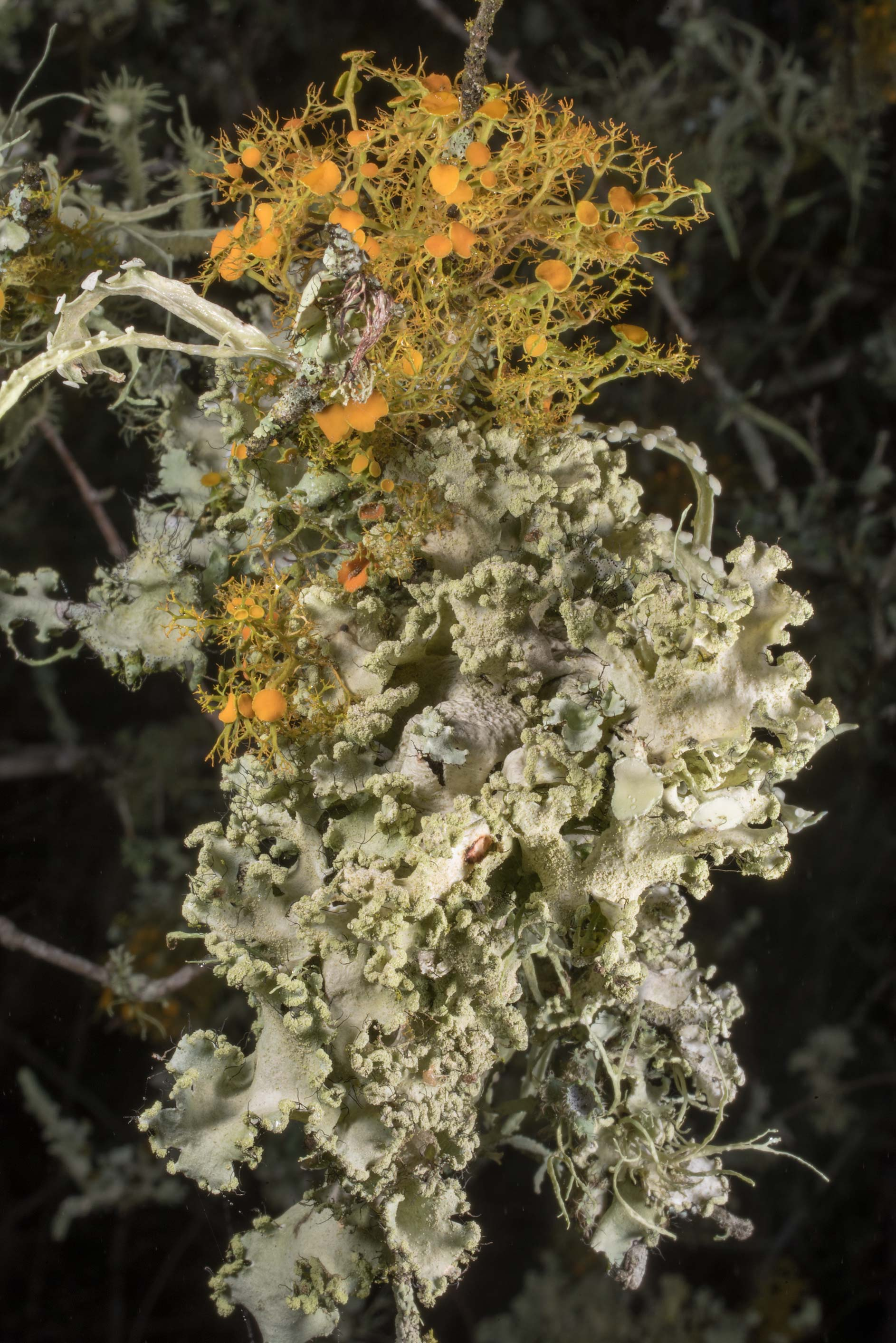 Various fruticose lichens on a small tree or a...of Somerville Lake State Park. Texas