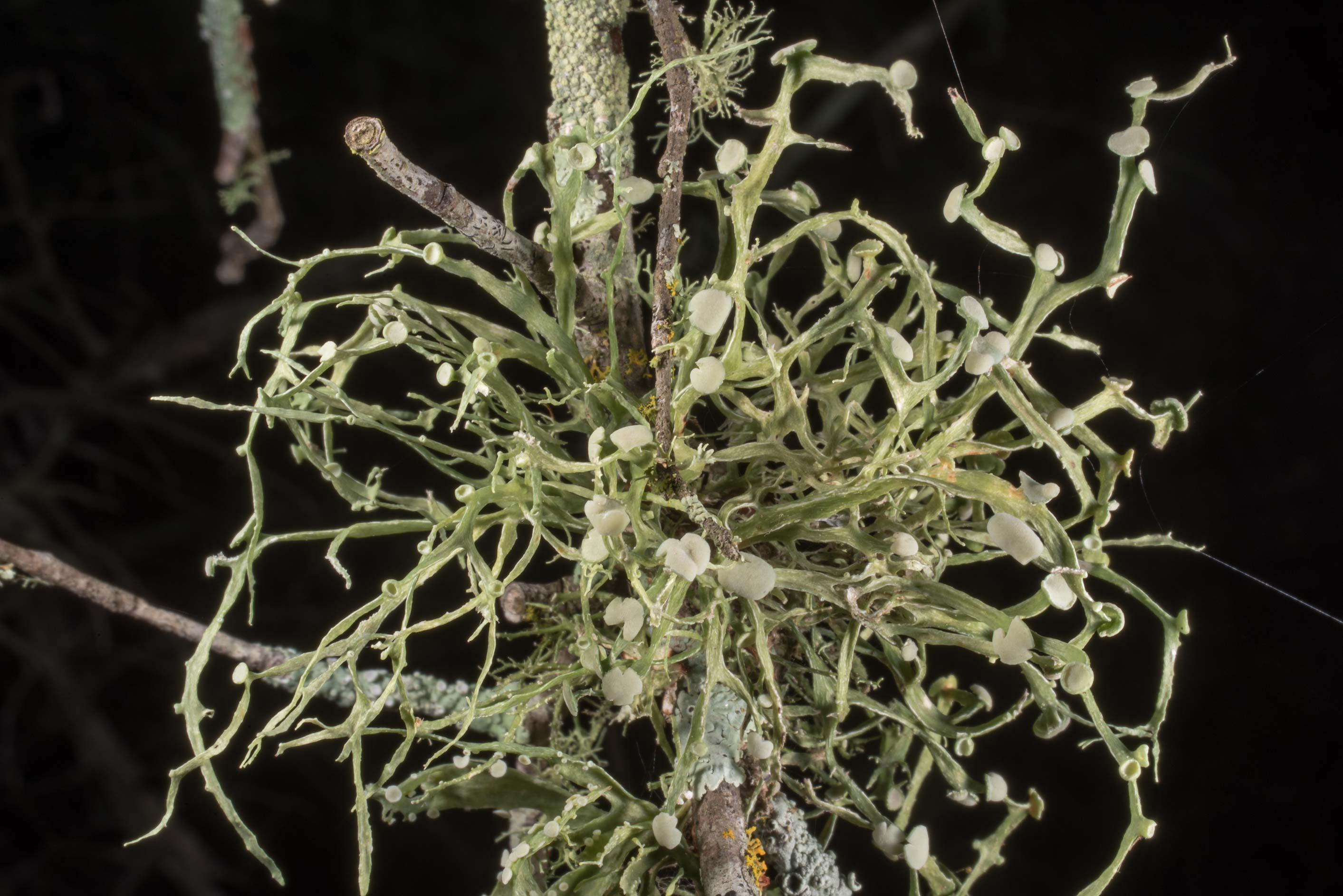 Southern strap lichen (Ramalina stenospora) on a...of Somerville Lake State Park. Texas