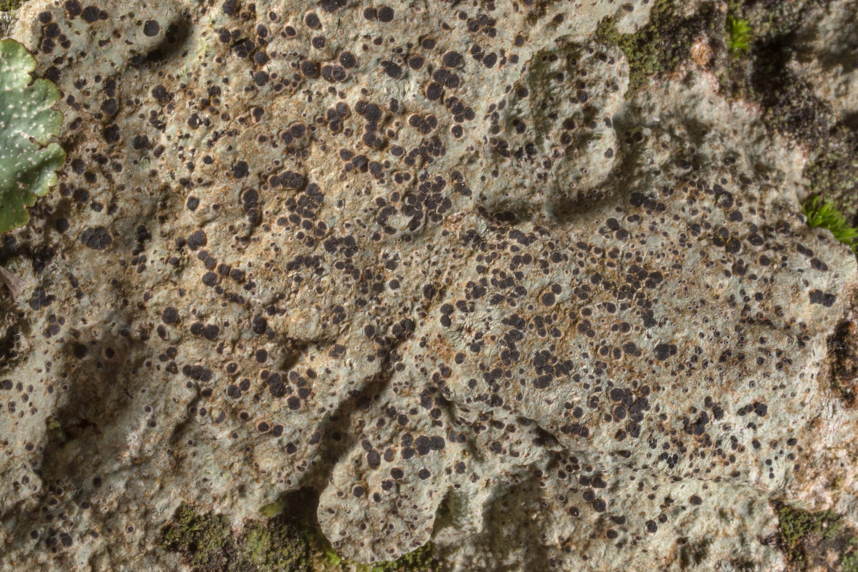 Button lichen (Buellia) on a rock in a forest in...of Somerville Lake State Park. Texas