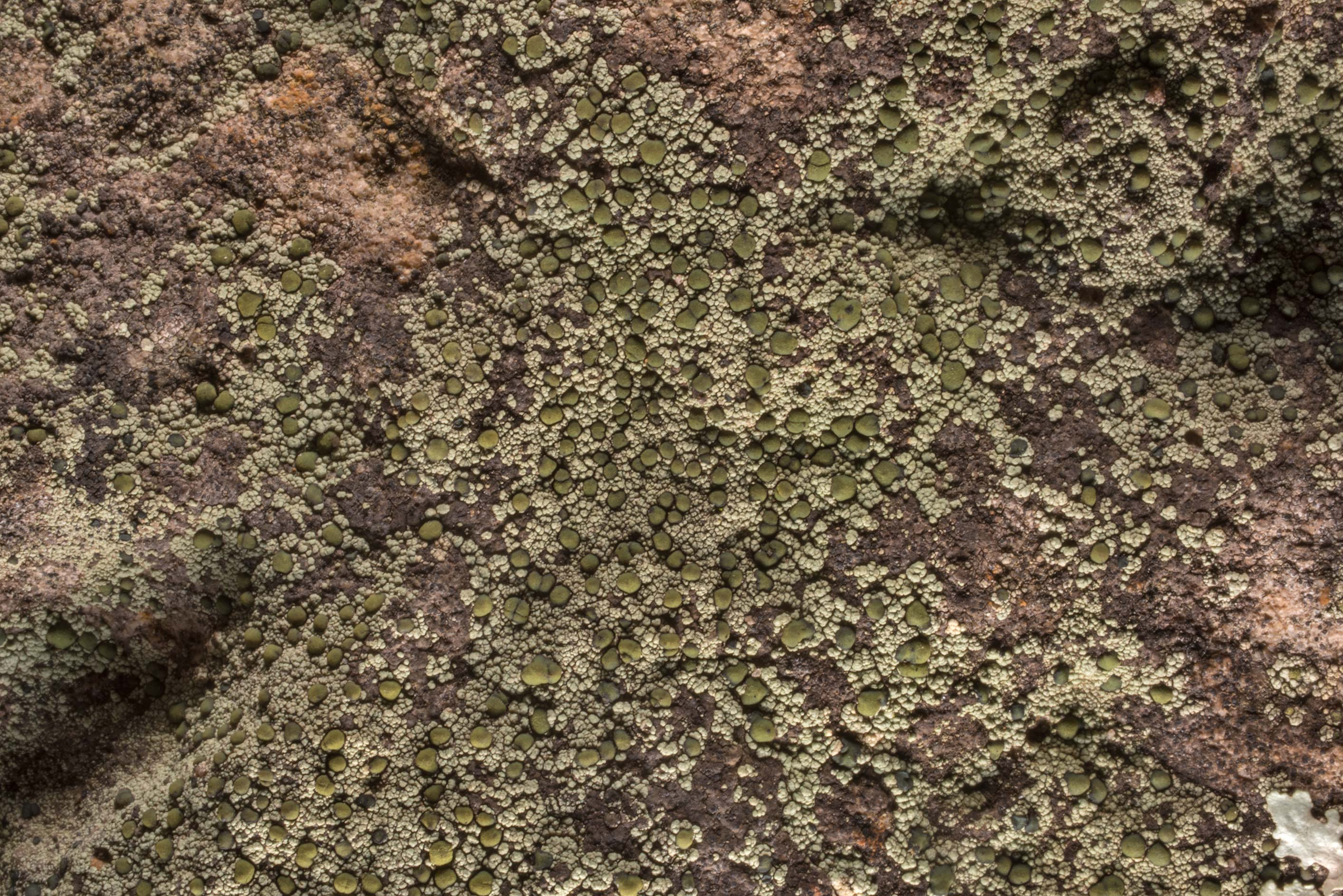 A lichen with olive green apothecia on a rock in...of Somerville Lake State Park. Texas