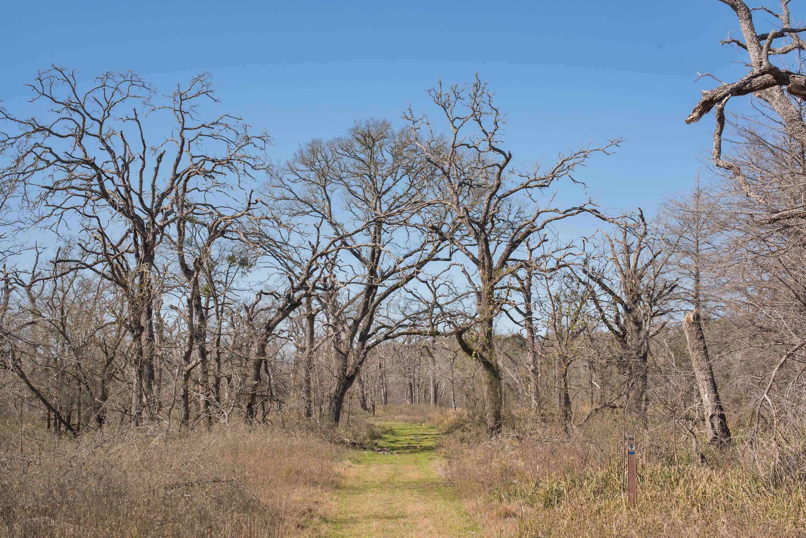 Formerly flooded area with dry oaks at Lake...of Somerville Lake State Park. Texas