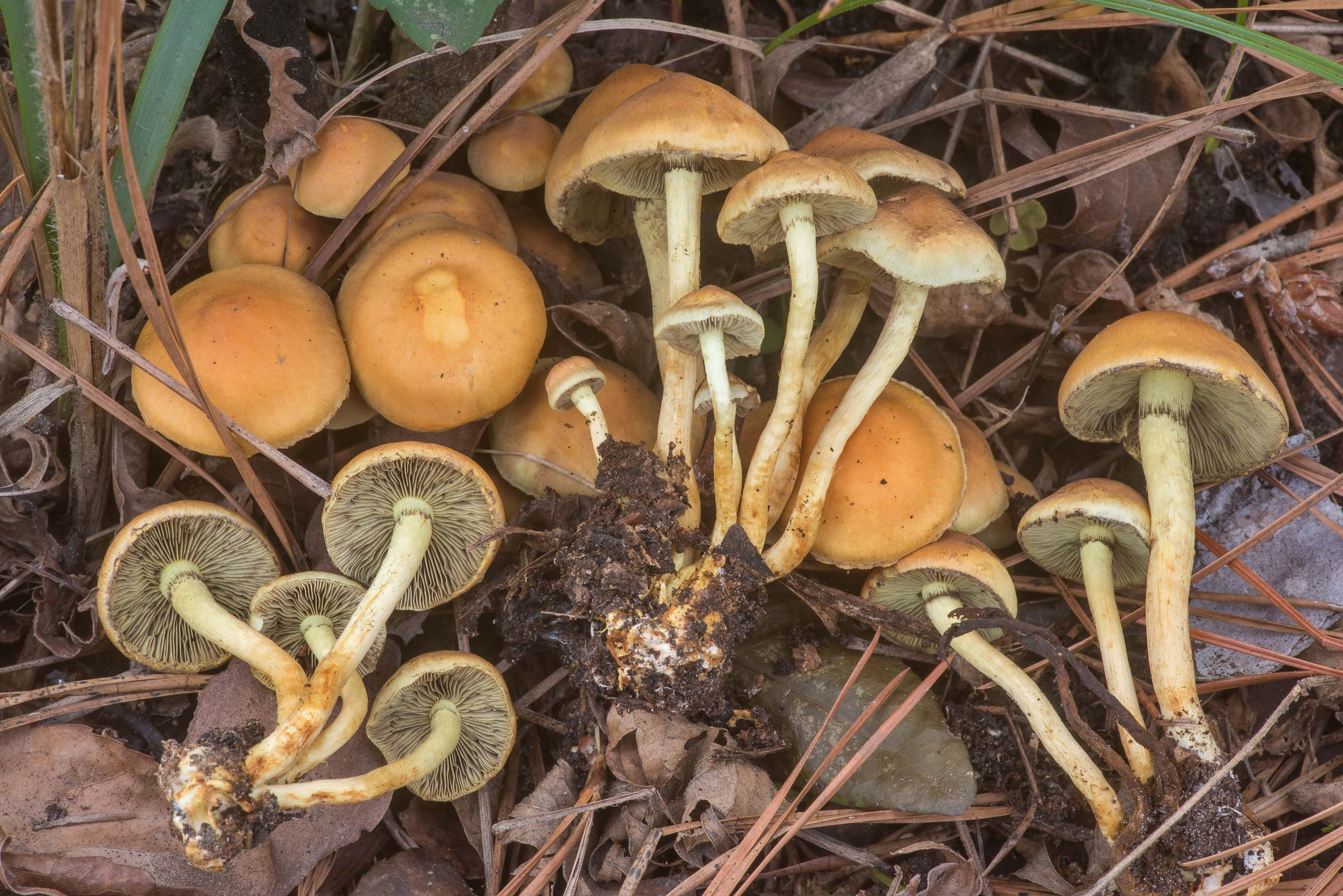 Sulphur tuft mushrooms (Hypholoma fasciculare) on...National Forest. Richards, Texas