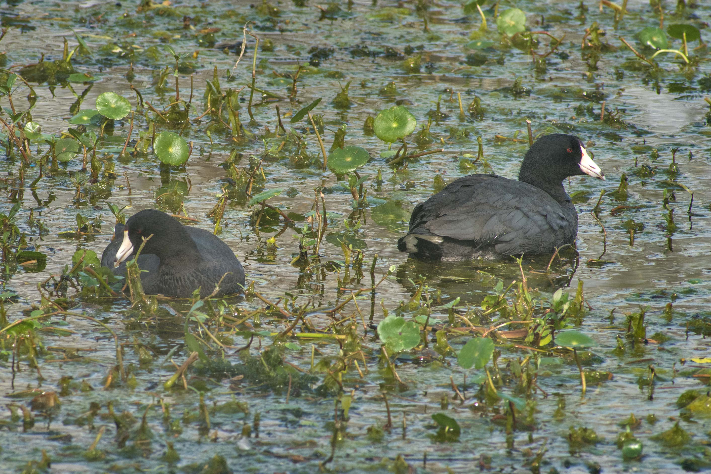 American coot birds in Elm Lake in Brazos Bend State Park. Needville, Texas