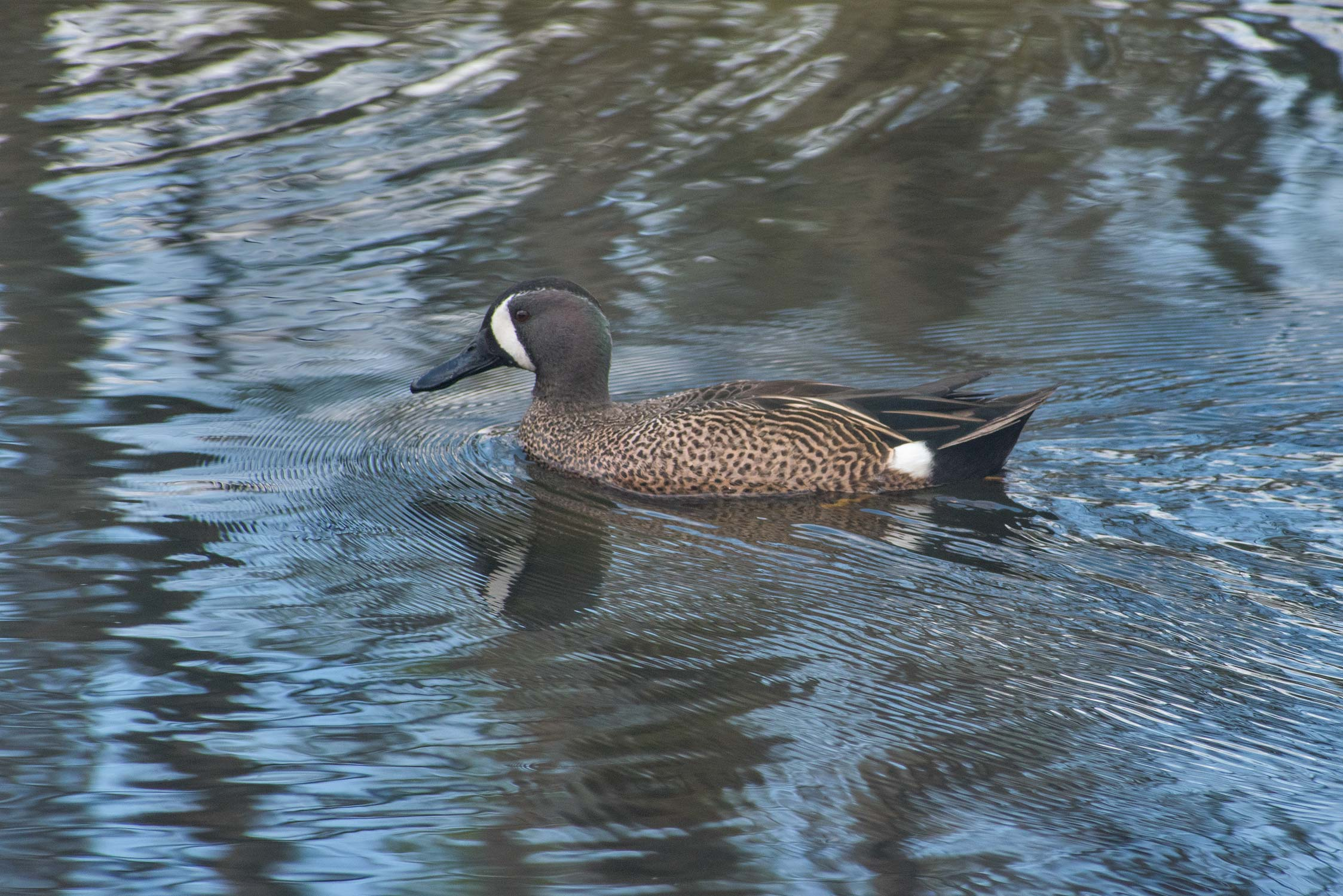 A duck in Elm Lake in Brazos Bend State Park. Needville, Texas