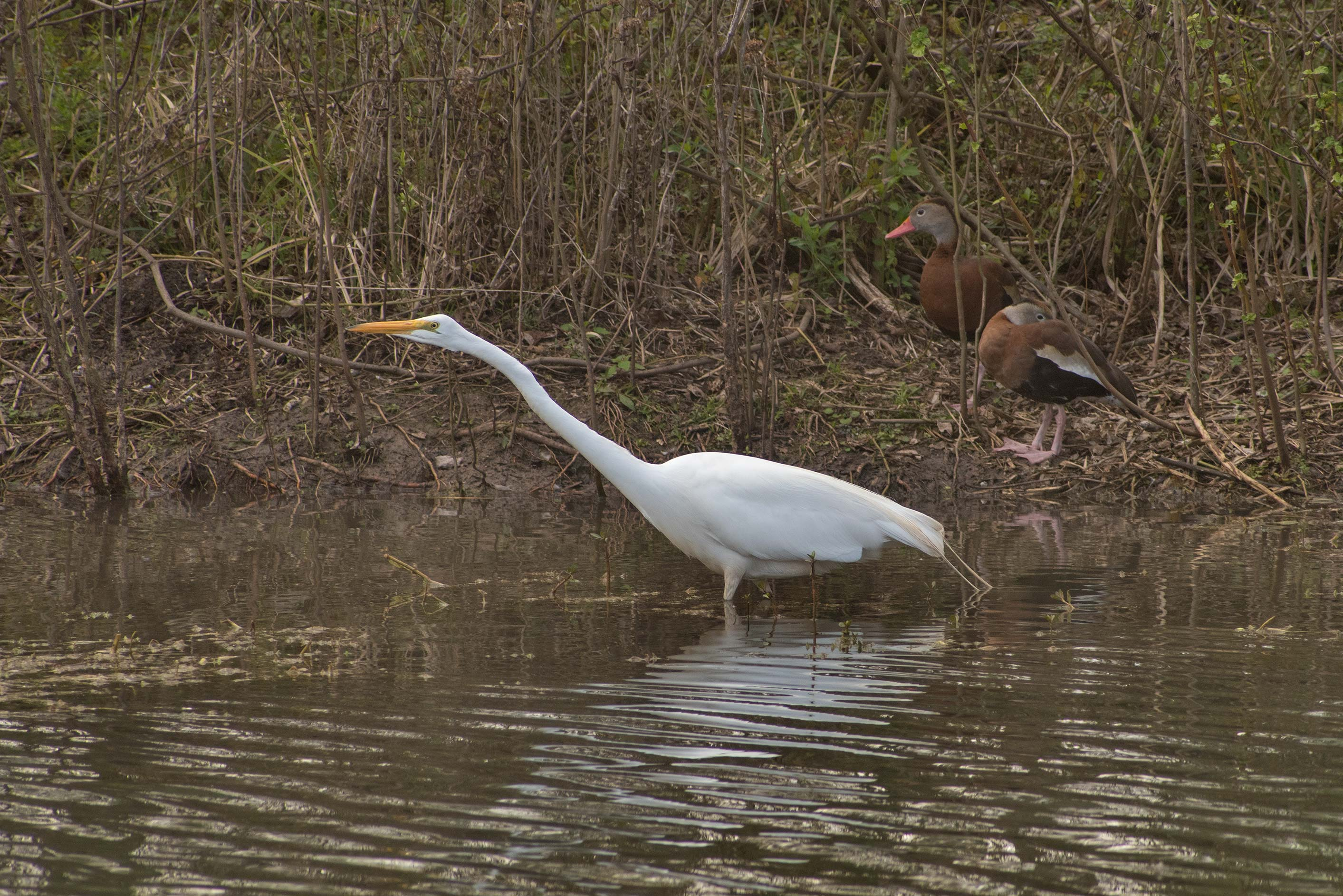 Hunting great white egret (Ardea alba) bird on an...Bend State Park. Needville, Texas