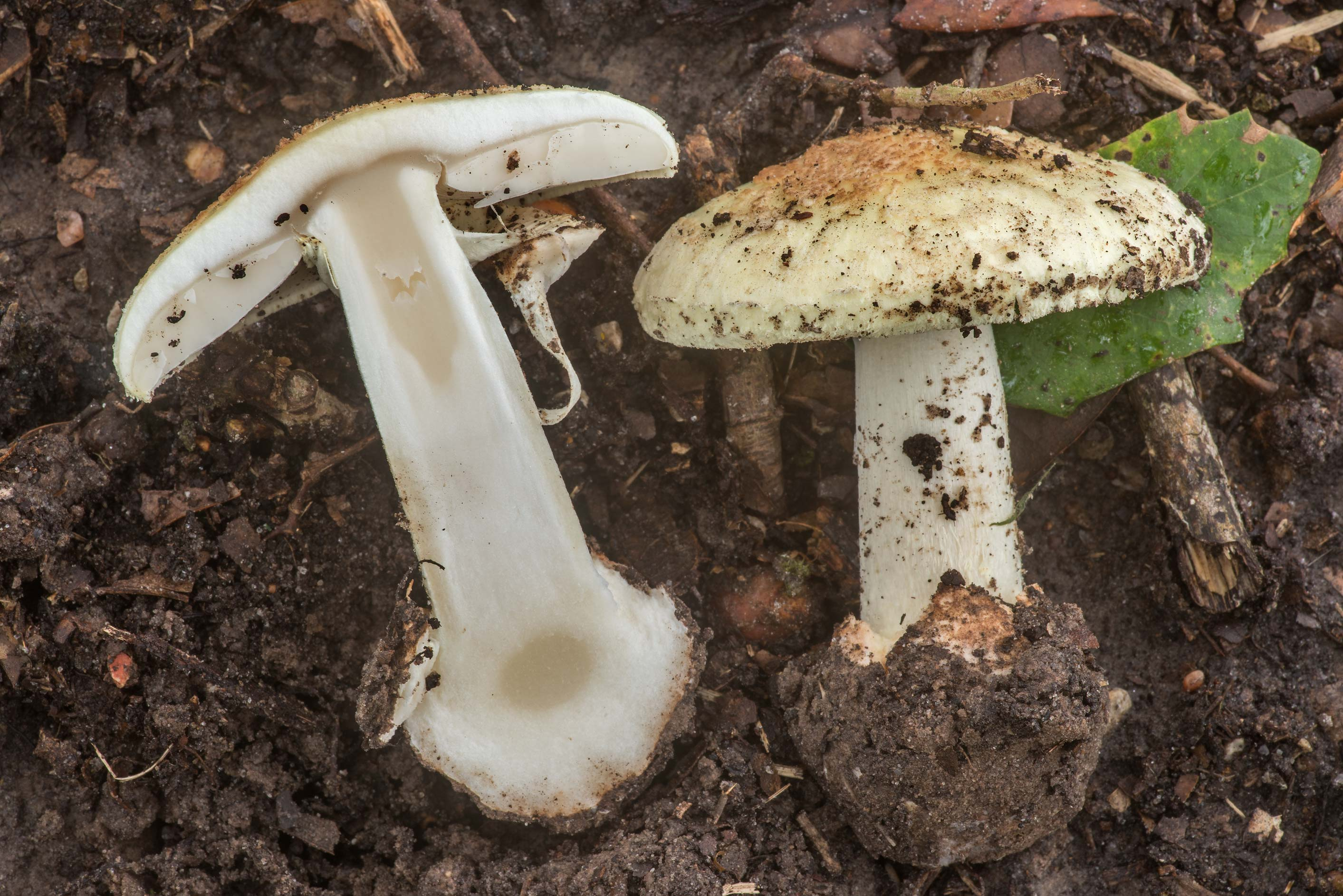 Dissected mushroom of Amanita lavendula group...city cemetery. College Station, Texas