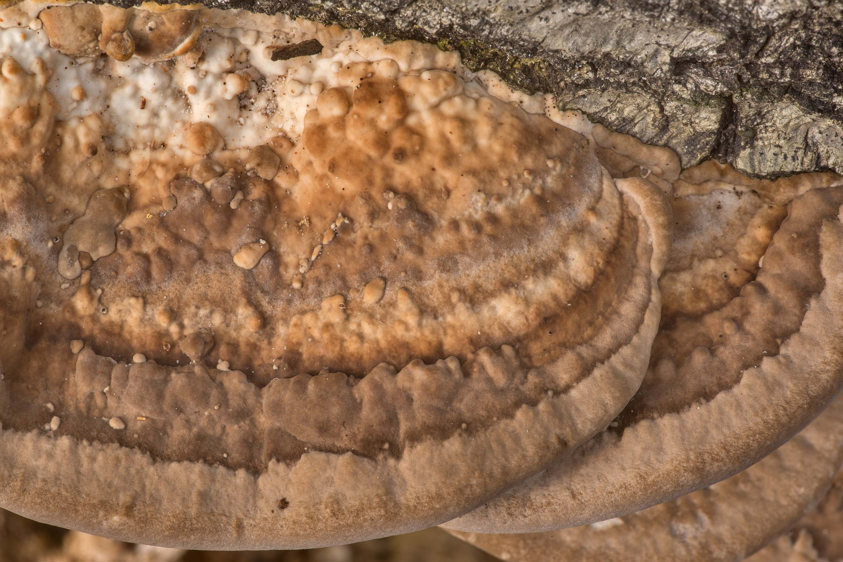 Cap texture of timber mushrooms Leiotrametes...National Forest near Huntsville. Texas