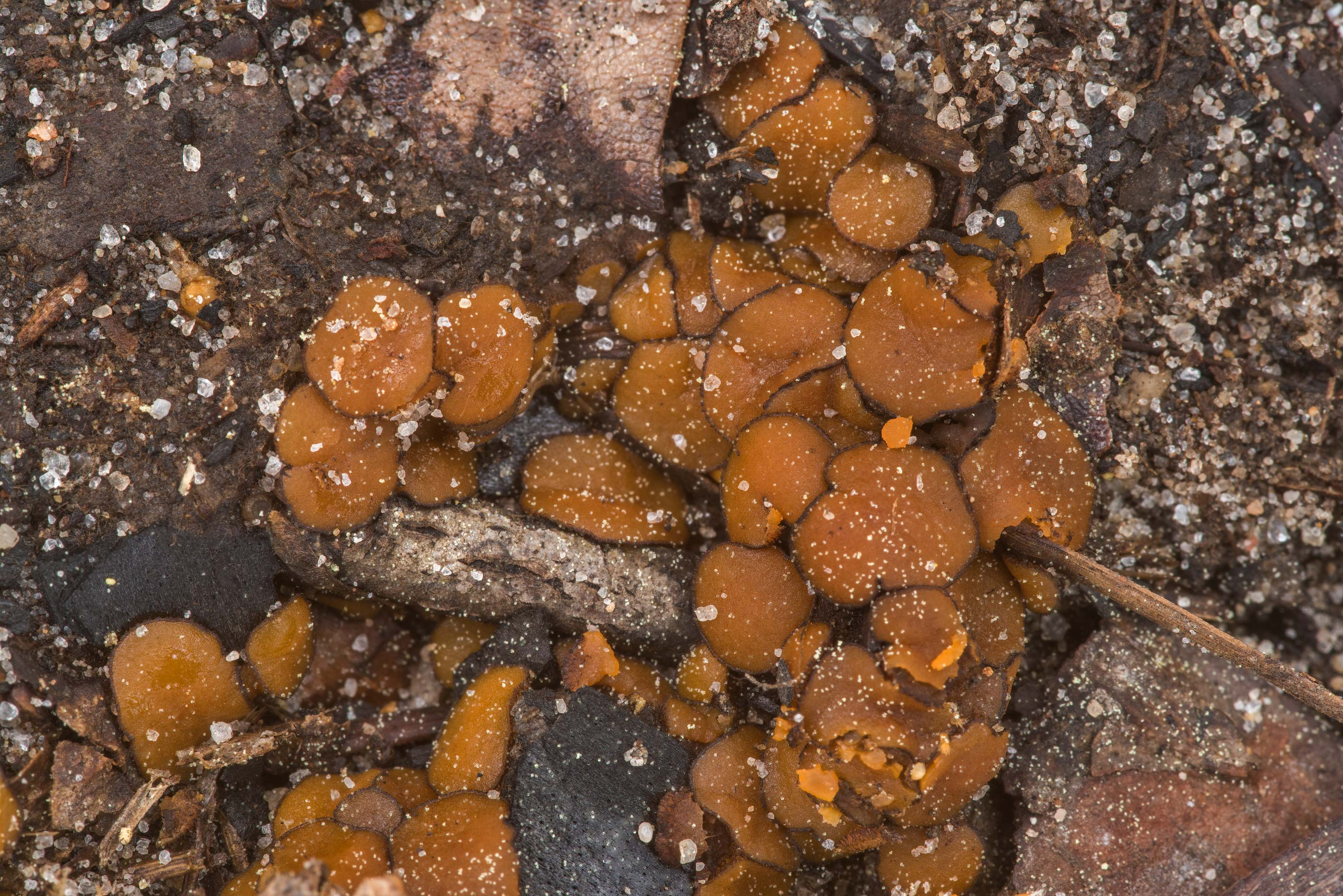 Close-up of ascomycete fungus Anthracobia...National Forest. Shepherd, Texas