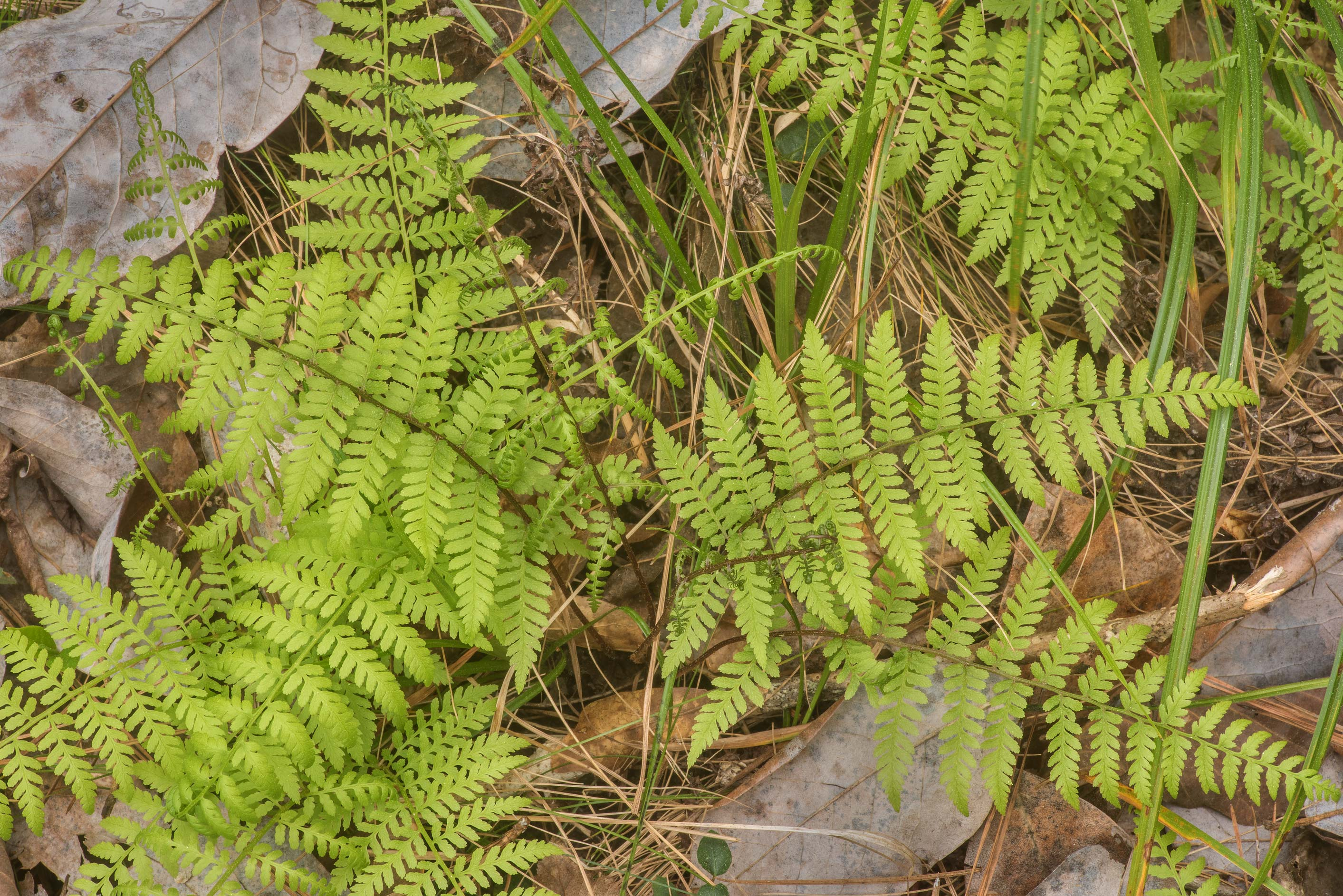 Southern Lady Fern (Athyrium filix-femina var...National Forest. Shepherd, Texas